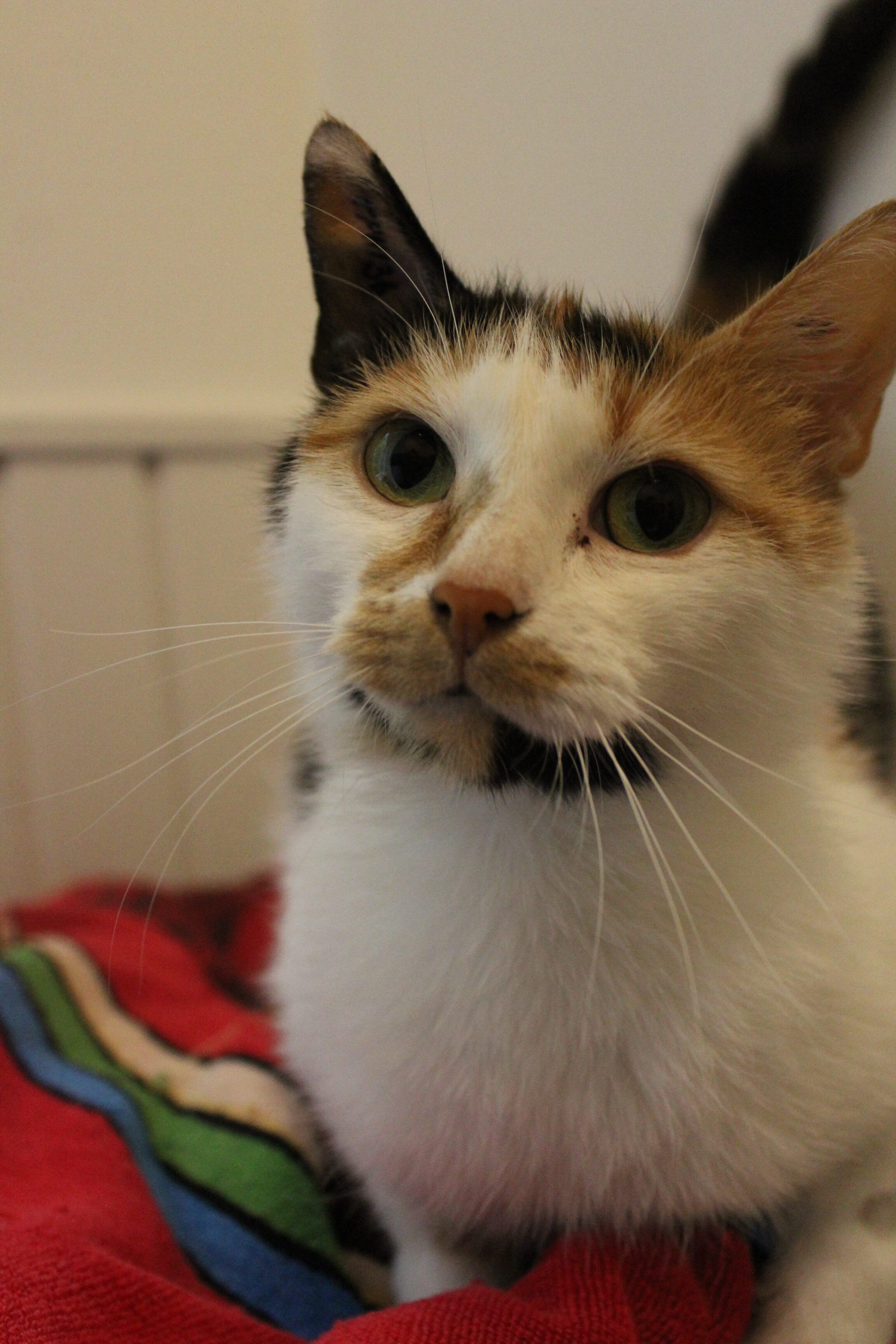 Pinje er den dejligste hunkat på 1½ år hun er sød og kælen og elsker at hygge i en familie.