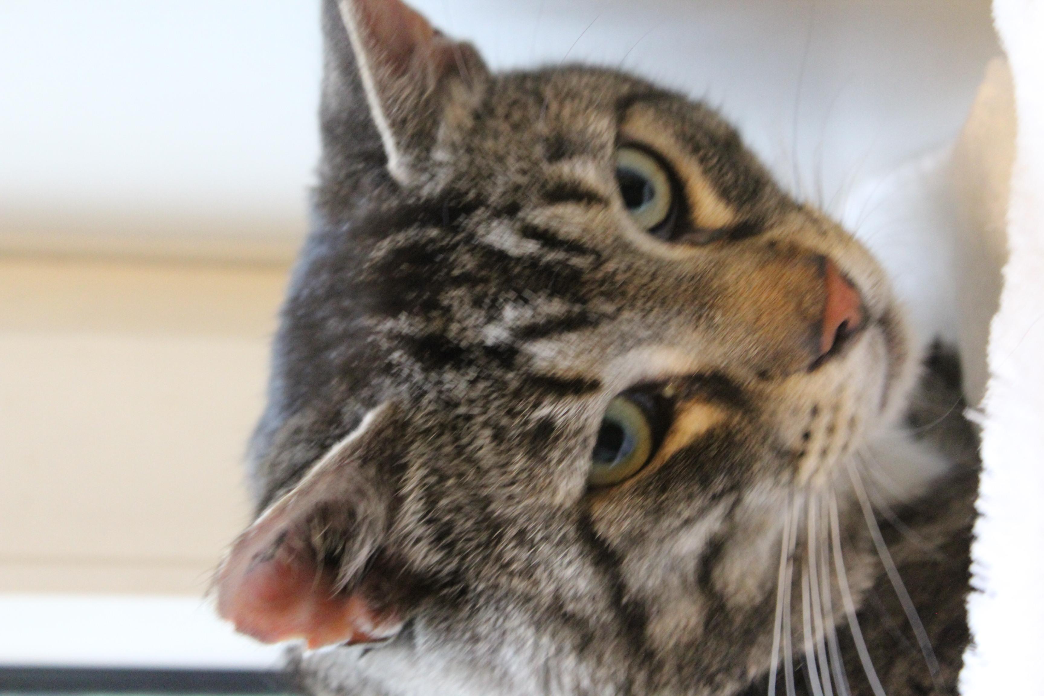 Felix er en stor og lækker og meget forsigtig hankat på 6 år. han er super dejlig og vant til inde og udeliv - har boet sammen med med gråmis.