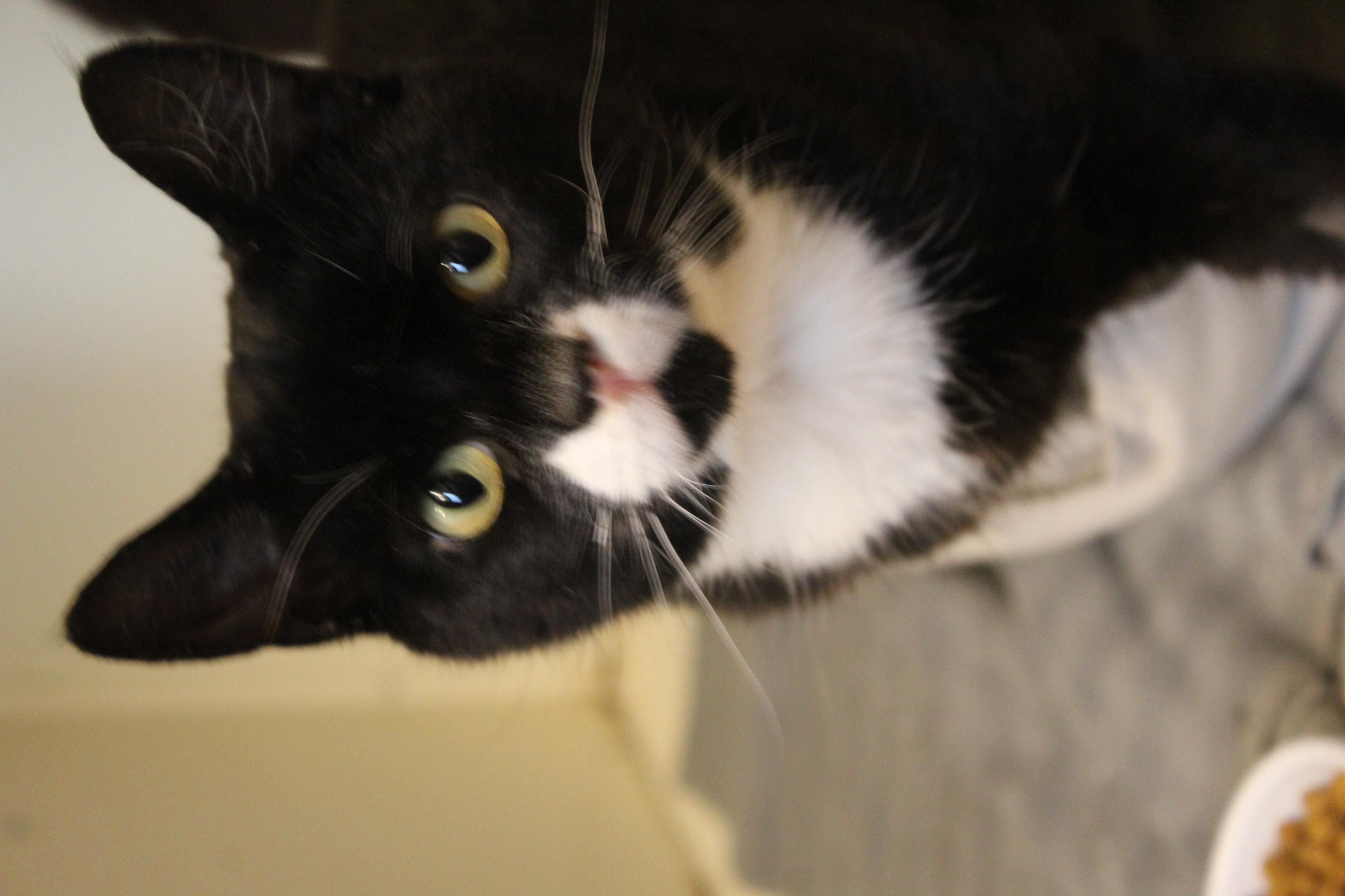 Sally er 1½ år og den dejligste kælne hunkat- hun er super sød og kærlig.