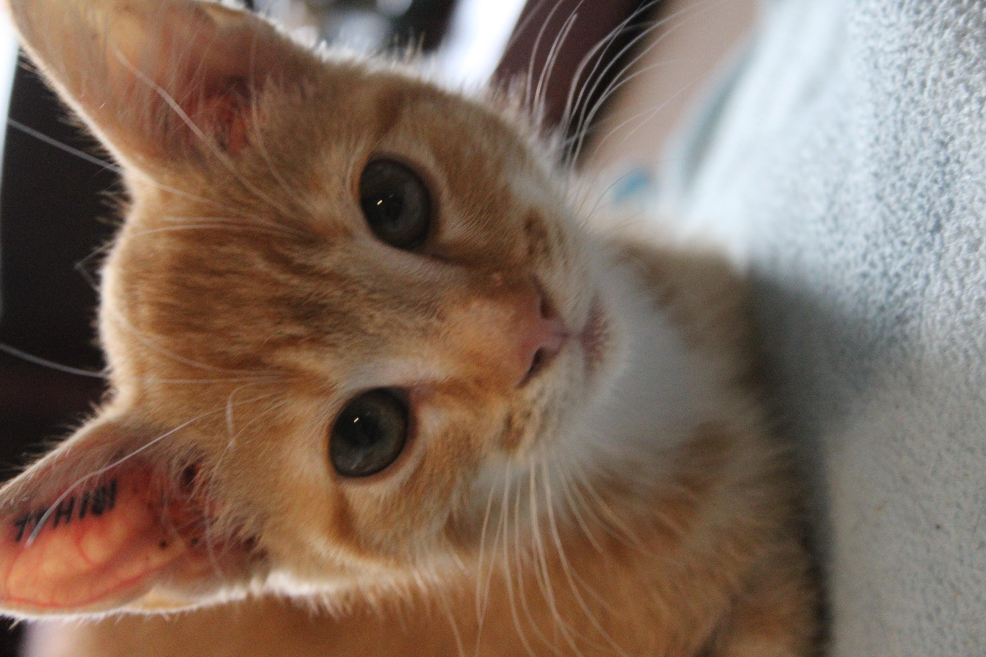 Nala er en suåper lækker hunkilling på 12 uger - super nem og dejlig kan med andre katte