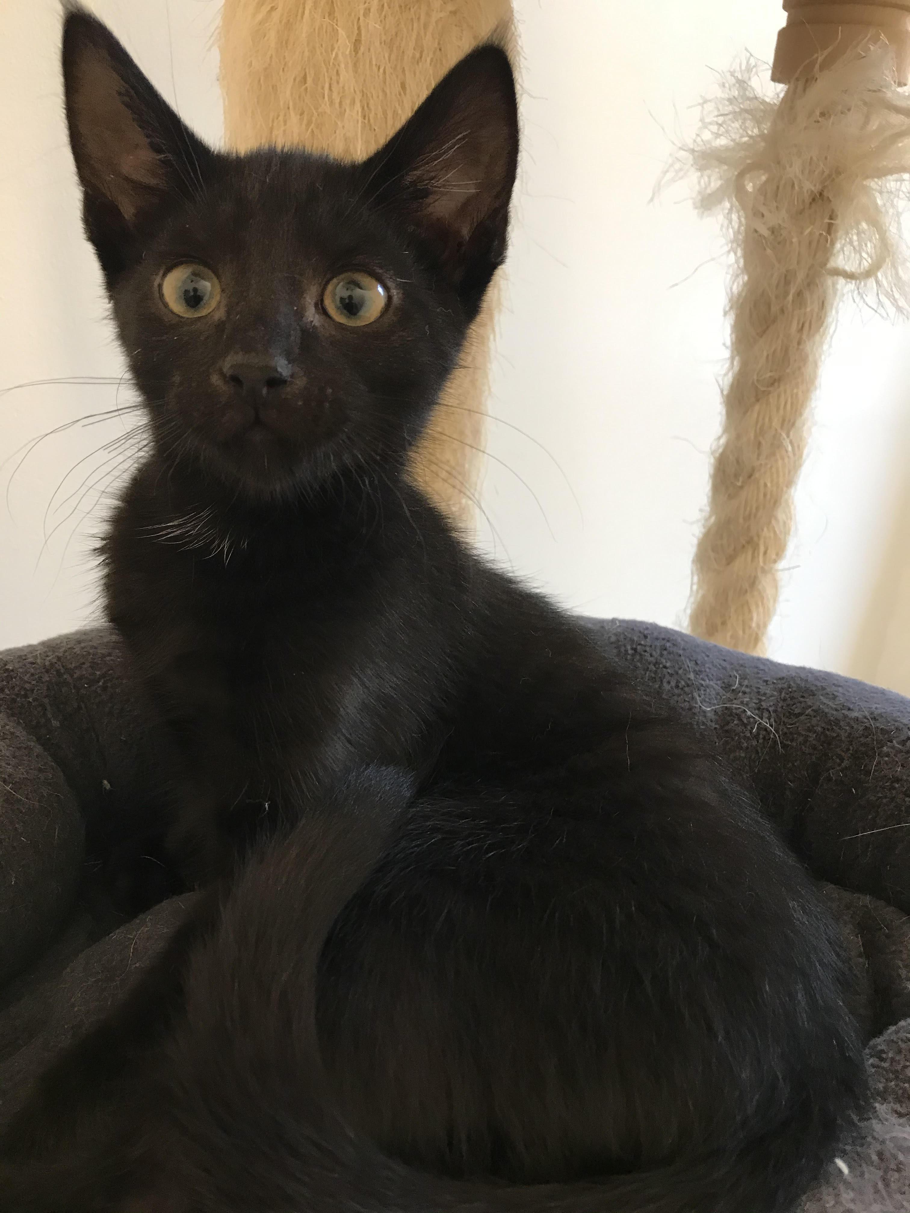 Sorte er en super sød og kælen hankilling på 12 uger - han kan med andre katte og hund