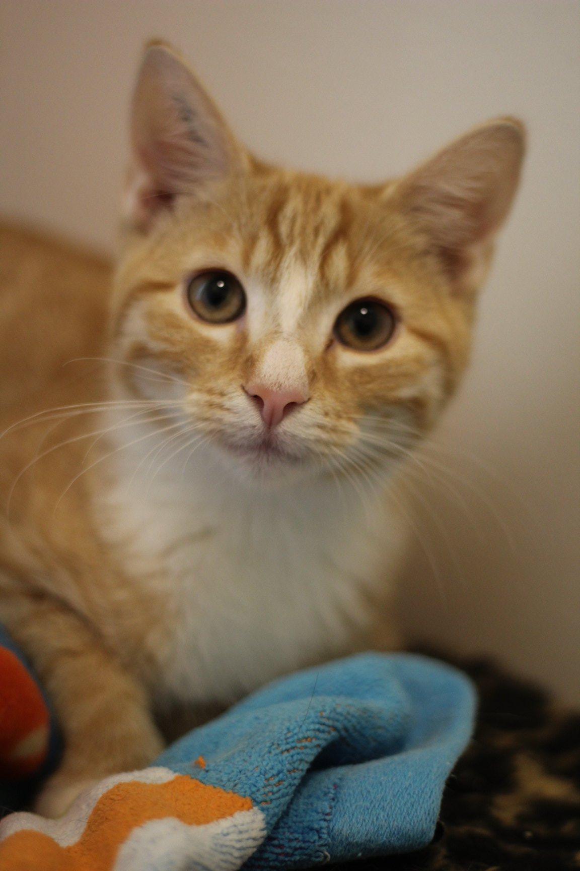 Manse er en super dejlig hankilling på 14 uger. han er lidt forsigtig - kan være indekat og er god med andre katte og hund