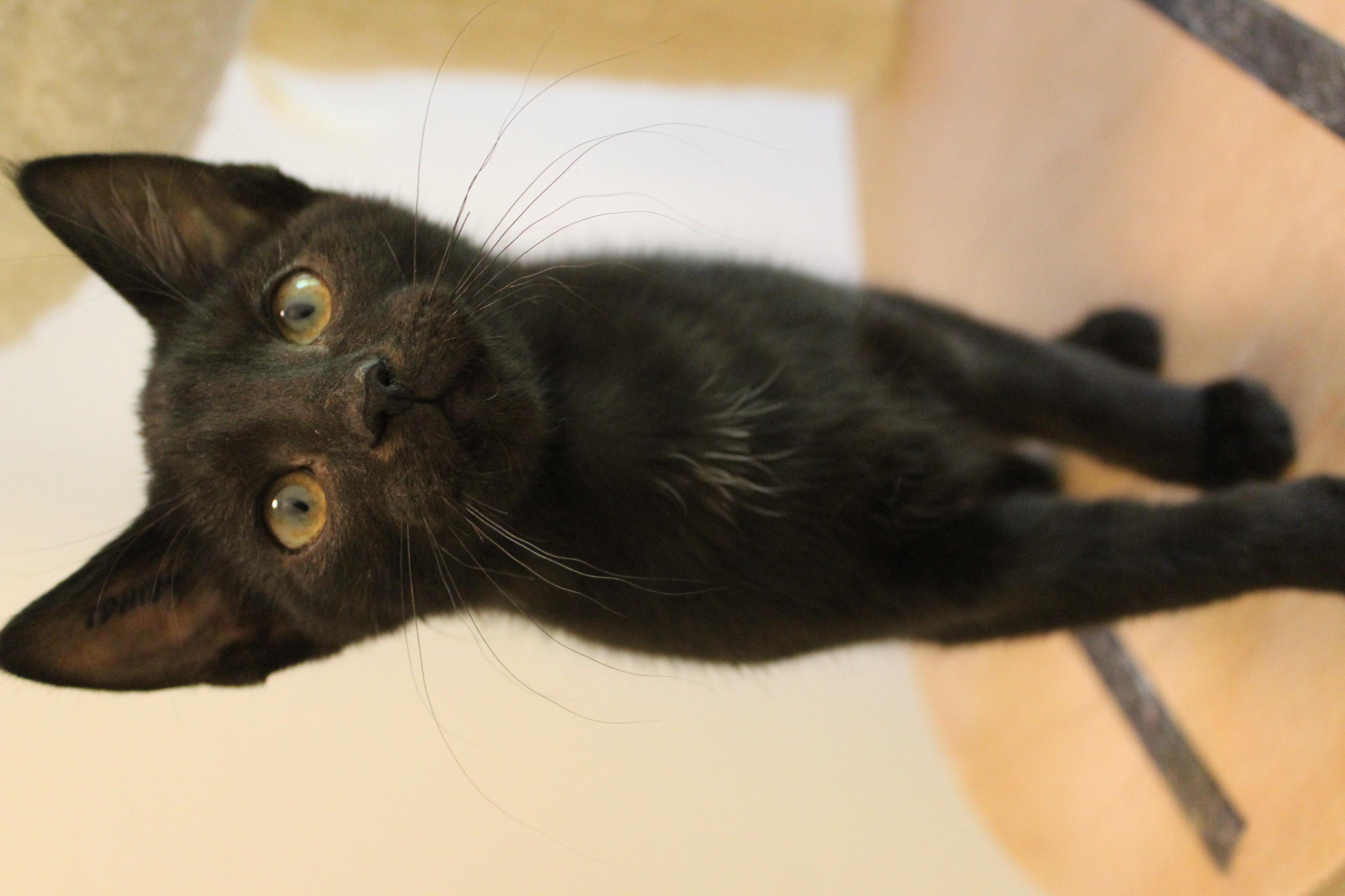 vi har rigtig mange søde og dejlige sorte katte lige nu - kig forbi og mød dem