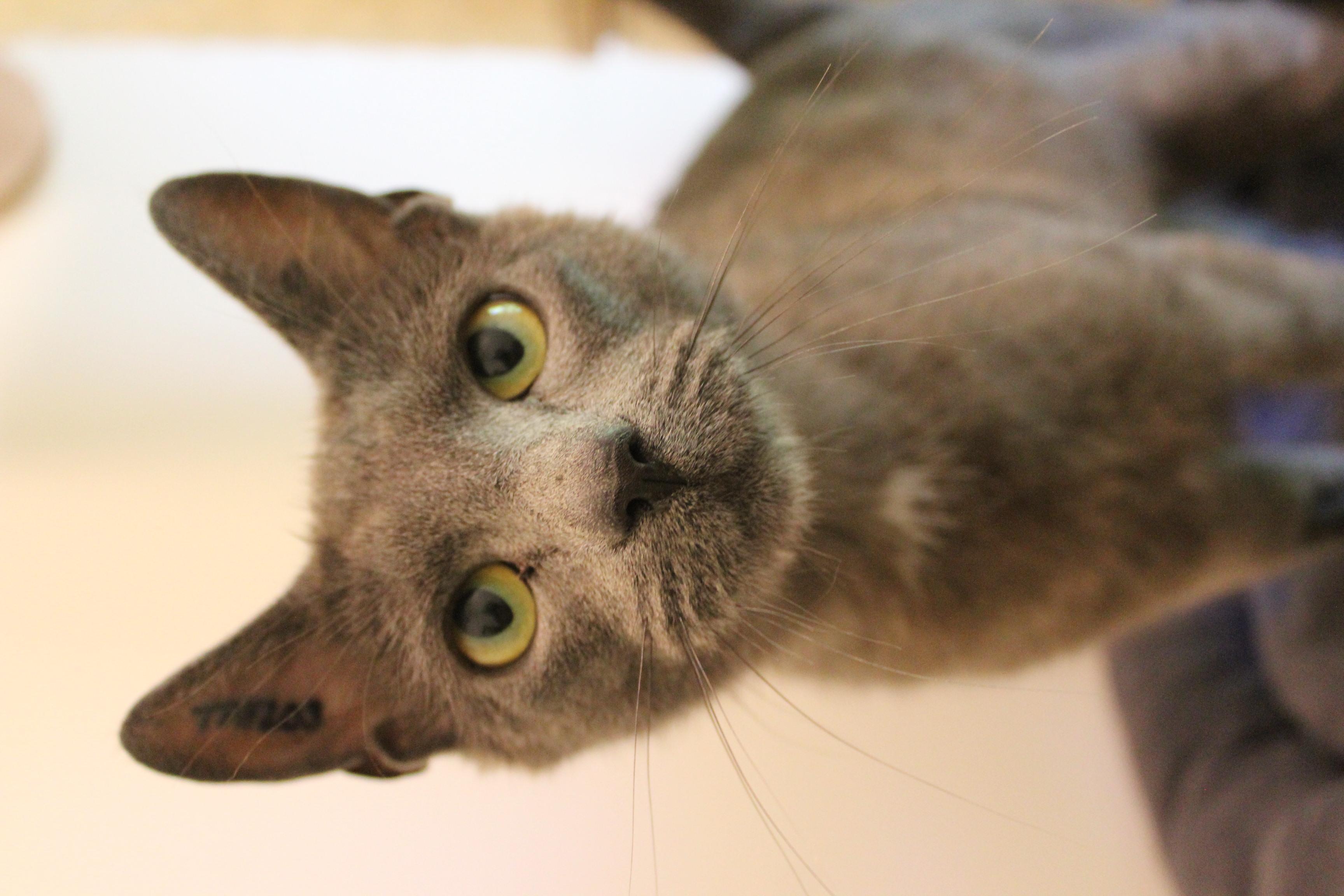 kira er en dejlig hunkat på 1 år. kan med andre katte