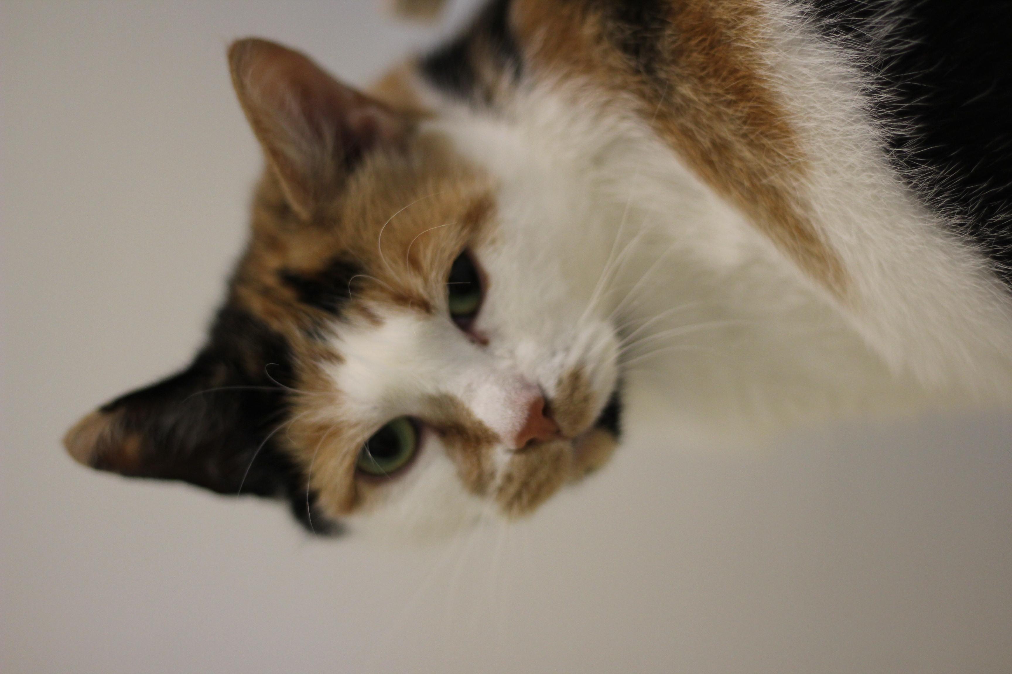 SPECIALNEED KAT pris 500 kr - hun er den dejligste kat - men skal ud på et landbrug og være arbejdskat - gerne som alene kat