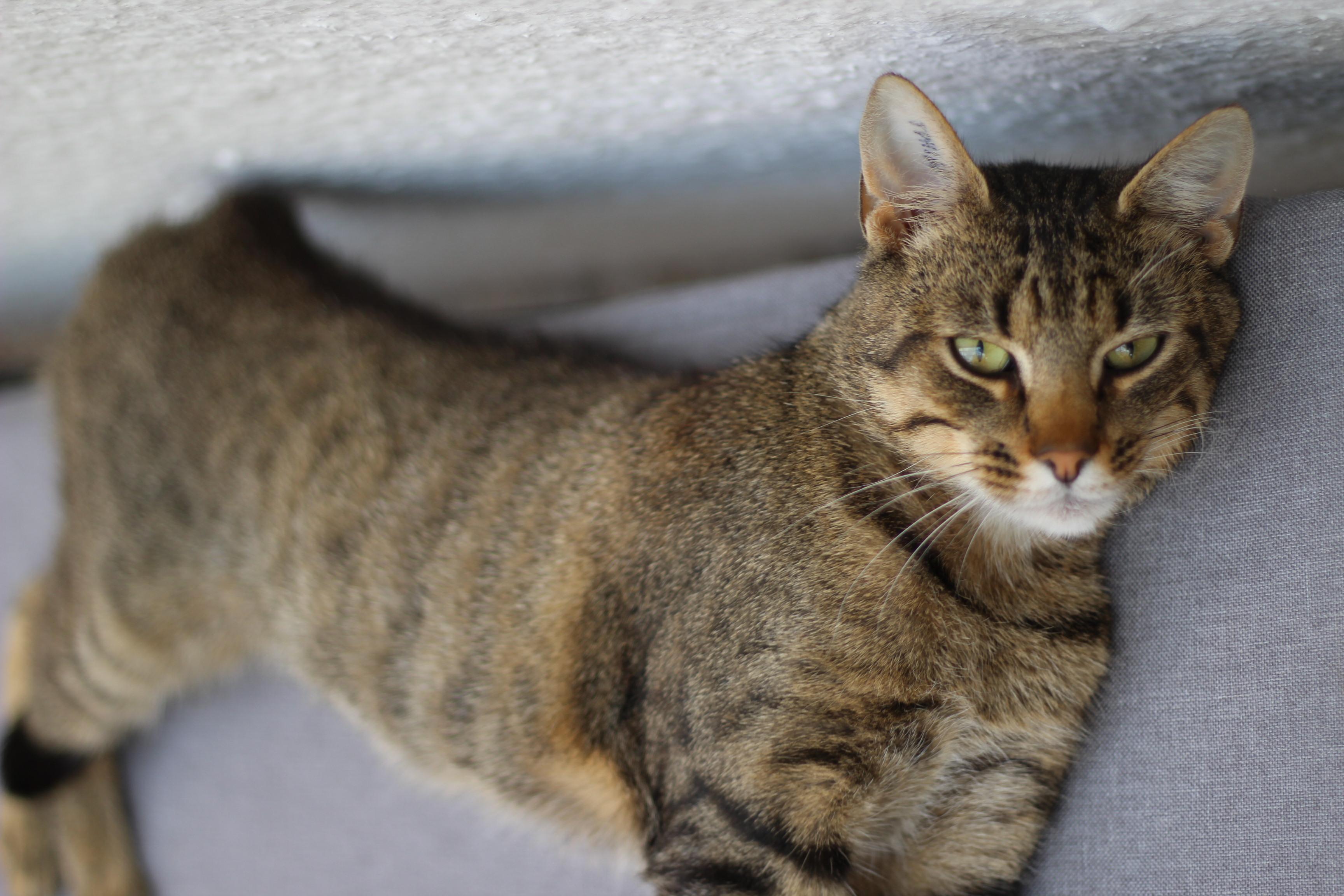 SpecialNeed kat - pris 500 kr - lækreste og kælne kat - bliver let overgearet og kan nappe - han vil passe perfekt ind på et landbrug som arbejdskat - skal være eneste kat da han kan tæve de andre