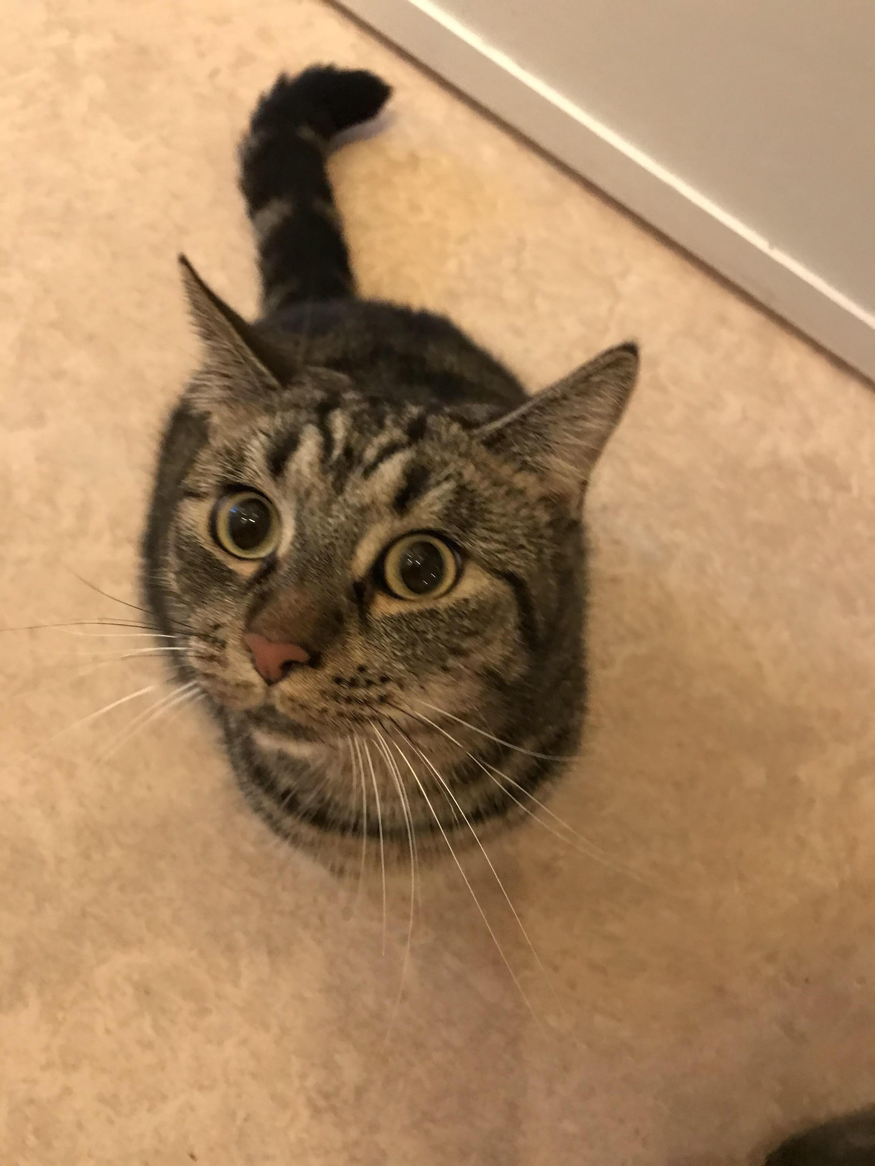 Lejlighedskat - Putte er en dejlig indekat på 2 år. hun er sæd og meget kælen og elsker selskab. kan med andre katte