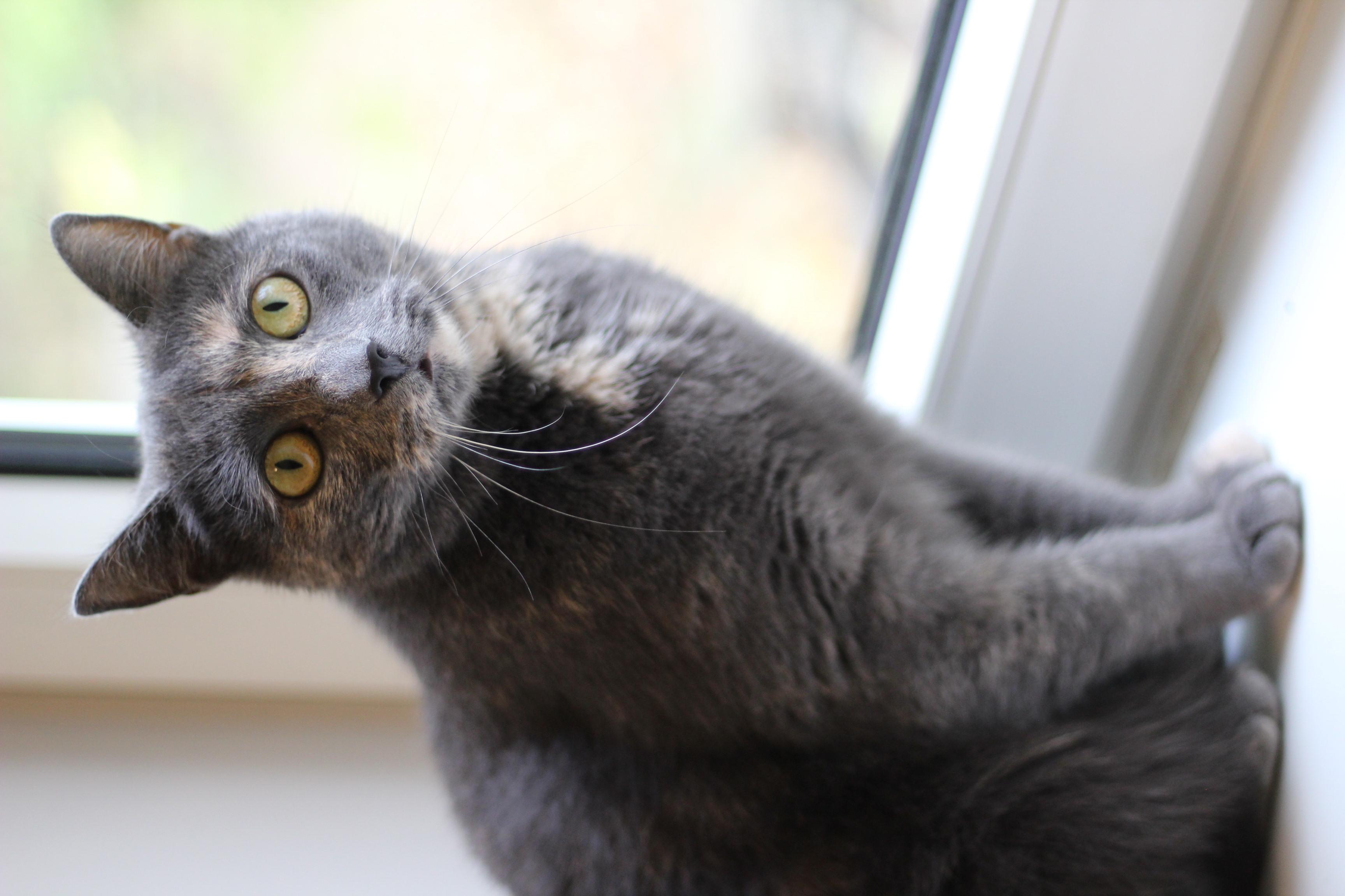 ronja er den sødeste hunkat på 3 år. hun skal have et hjem som alene kat gerne i et roligt hjem