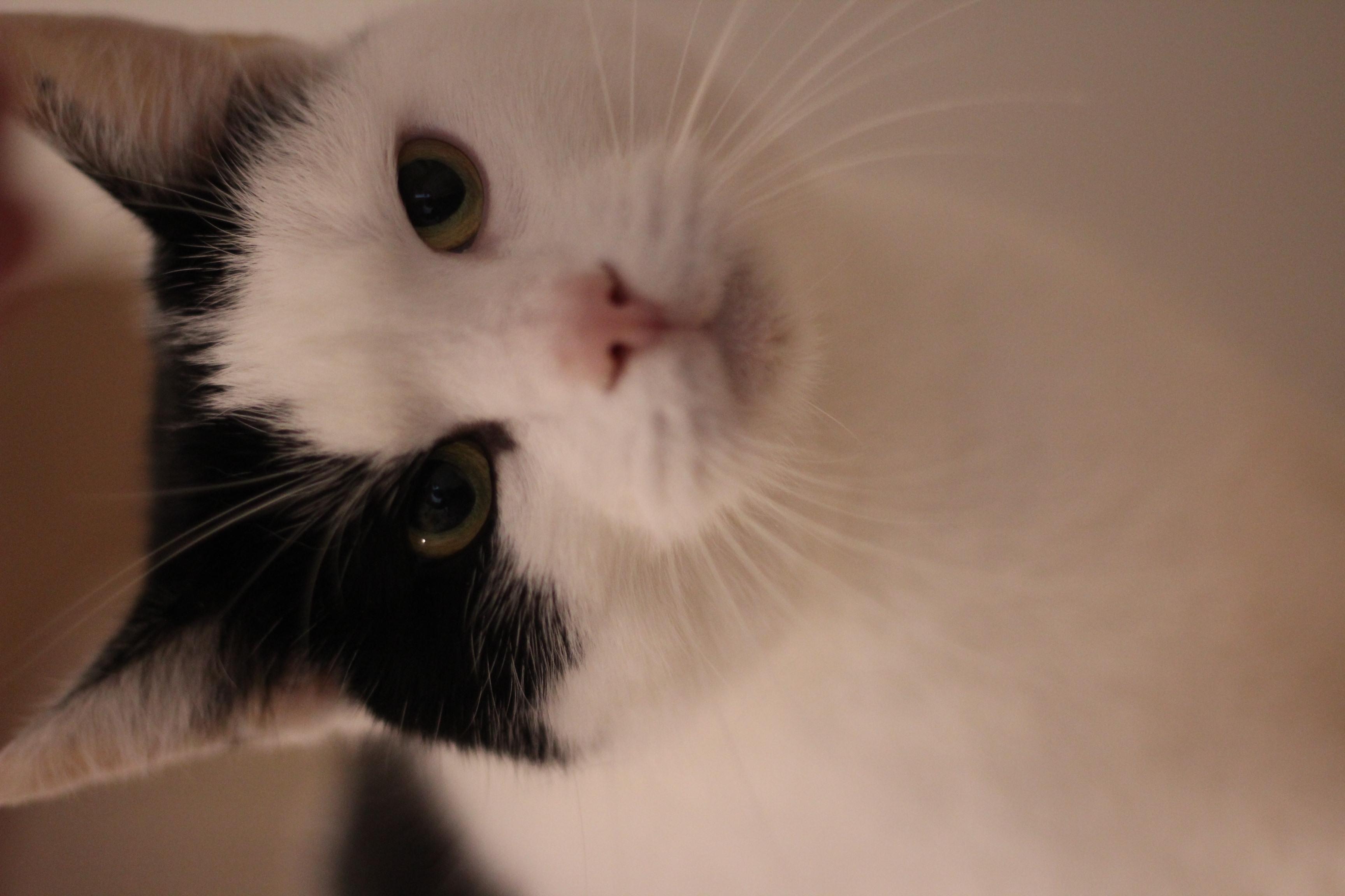 Marley er den dejligste hunkat å 7 år. hun skal helst bo i et hjem uden andre katte - hun elsker at putte