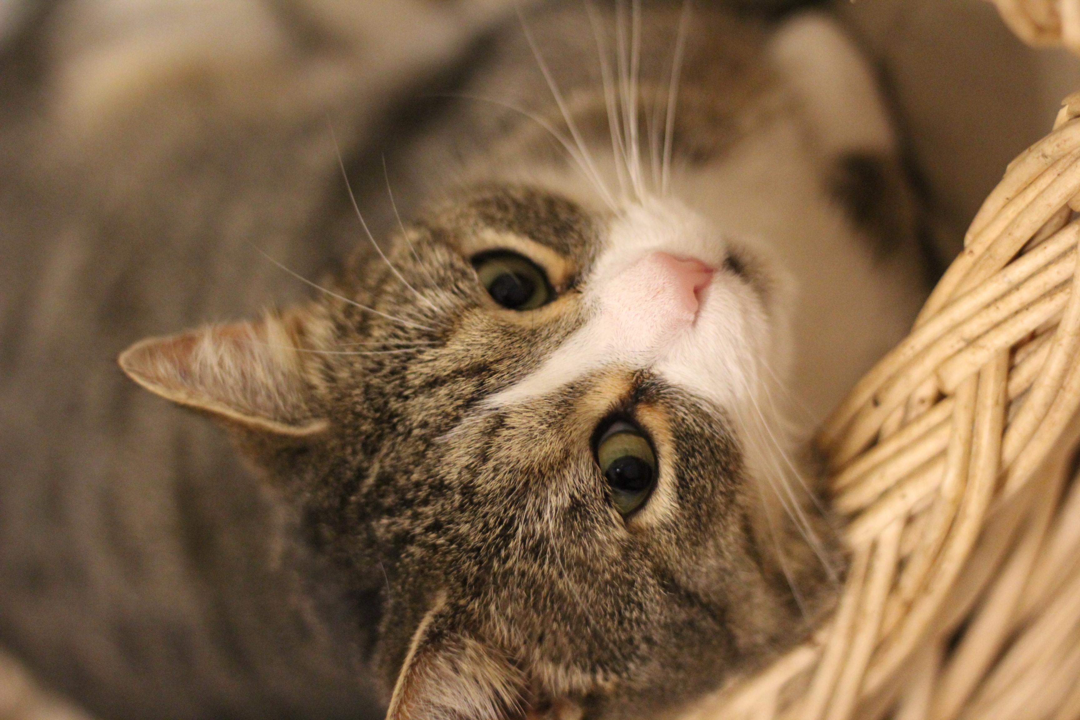 Søren kat er en dejlig hankat på 4 år. han er super kælen og dejlig