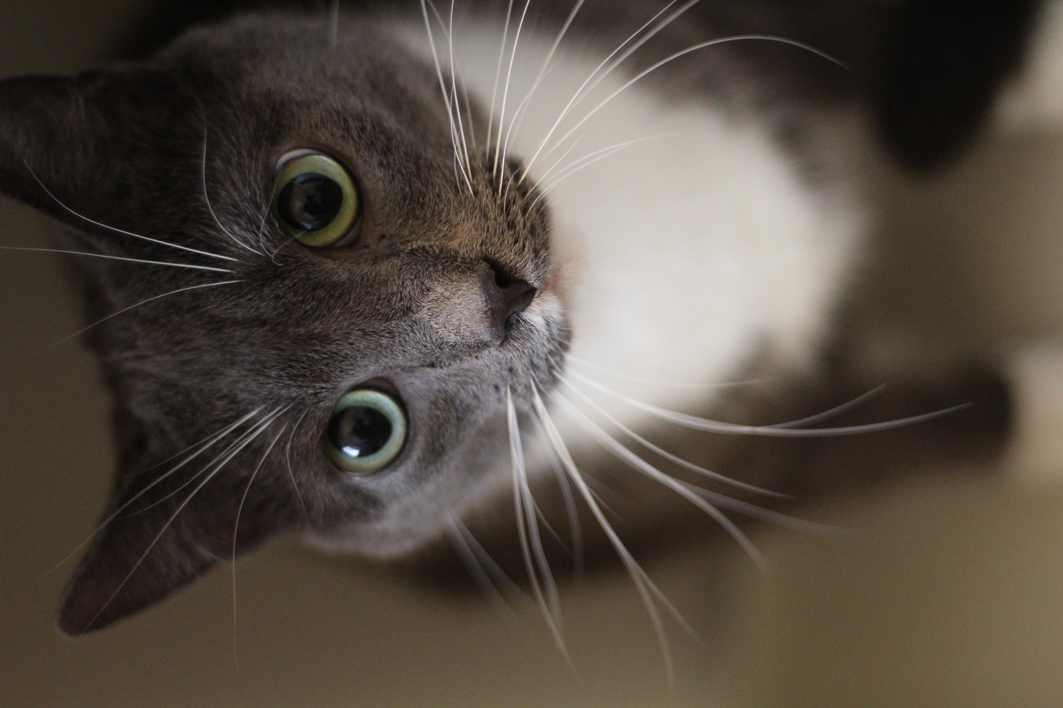 Modi er en dejlig hankat på 4 år. han er super kælen og sød og kan forskellige tricks . kan med andre katte