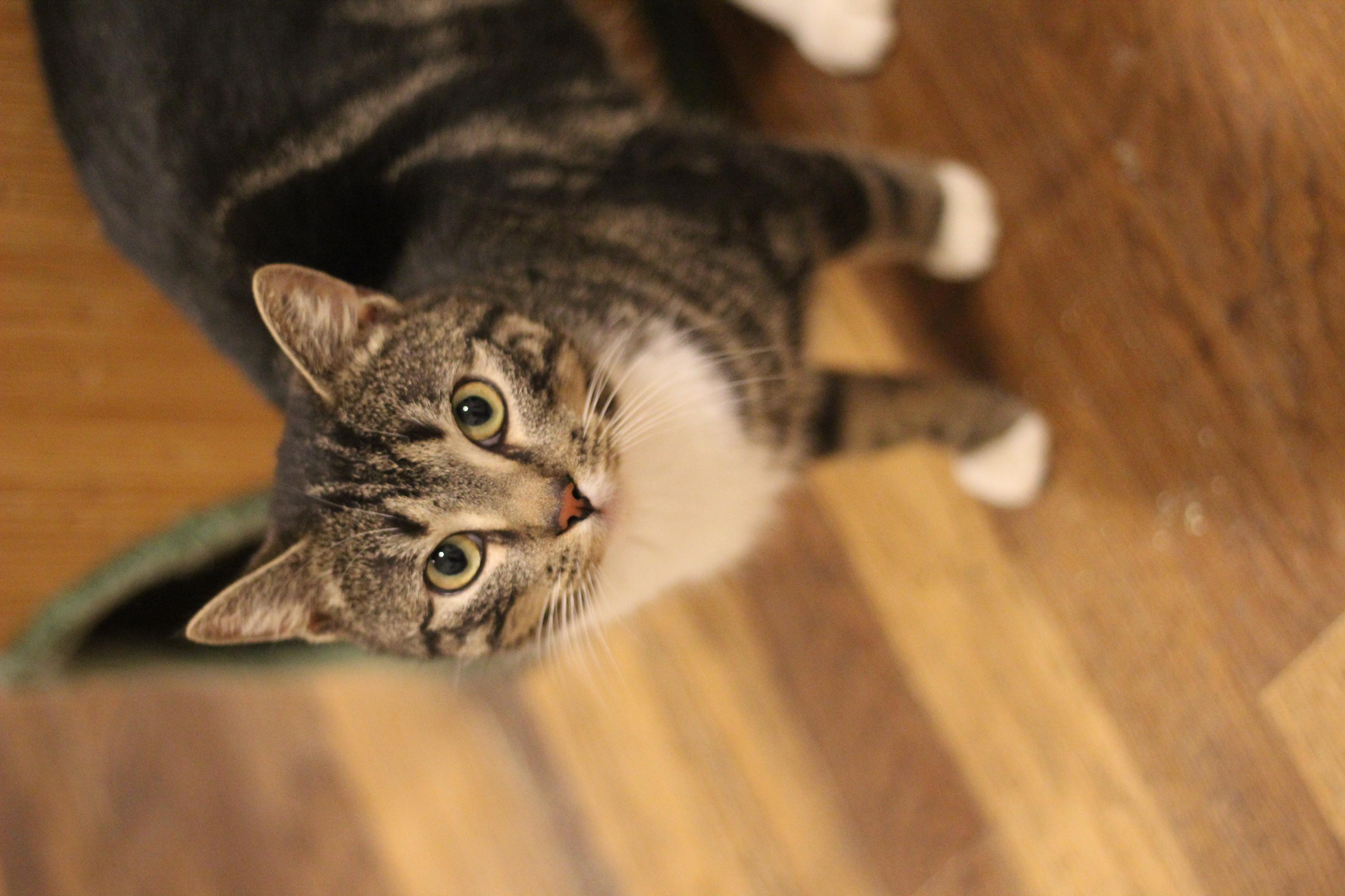 Ollie er en super dejlig hankat på 1 år - han er super kælen men skal bo i et roligtroligt roligt hjem