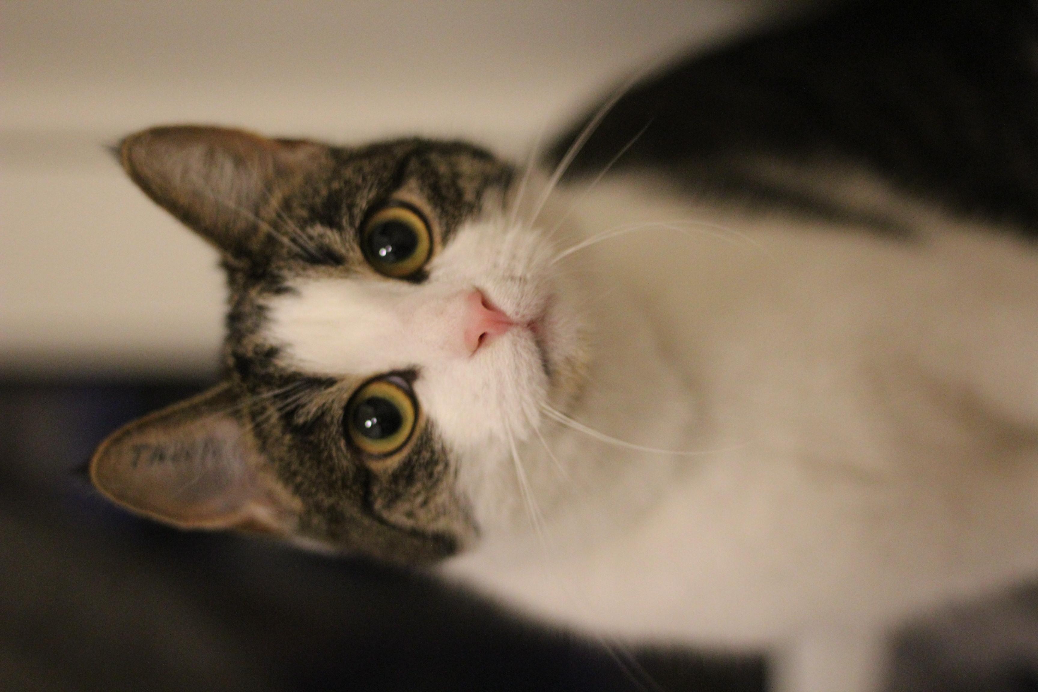 Mille er en dejlig hunkat på 1 år - har boet hos et ældre ægtepar med sine killinger.