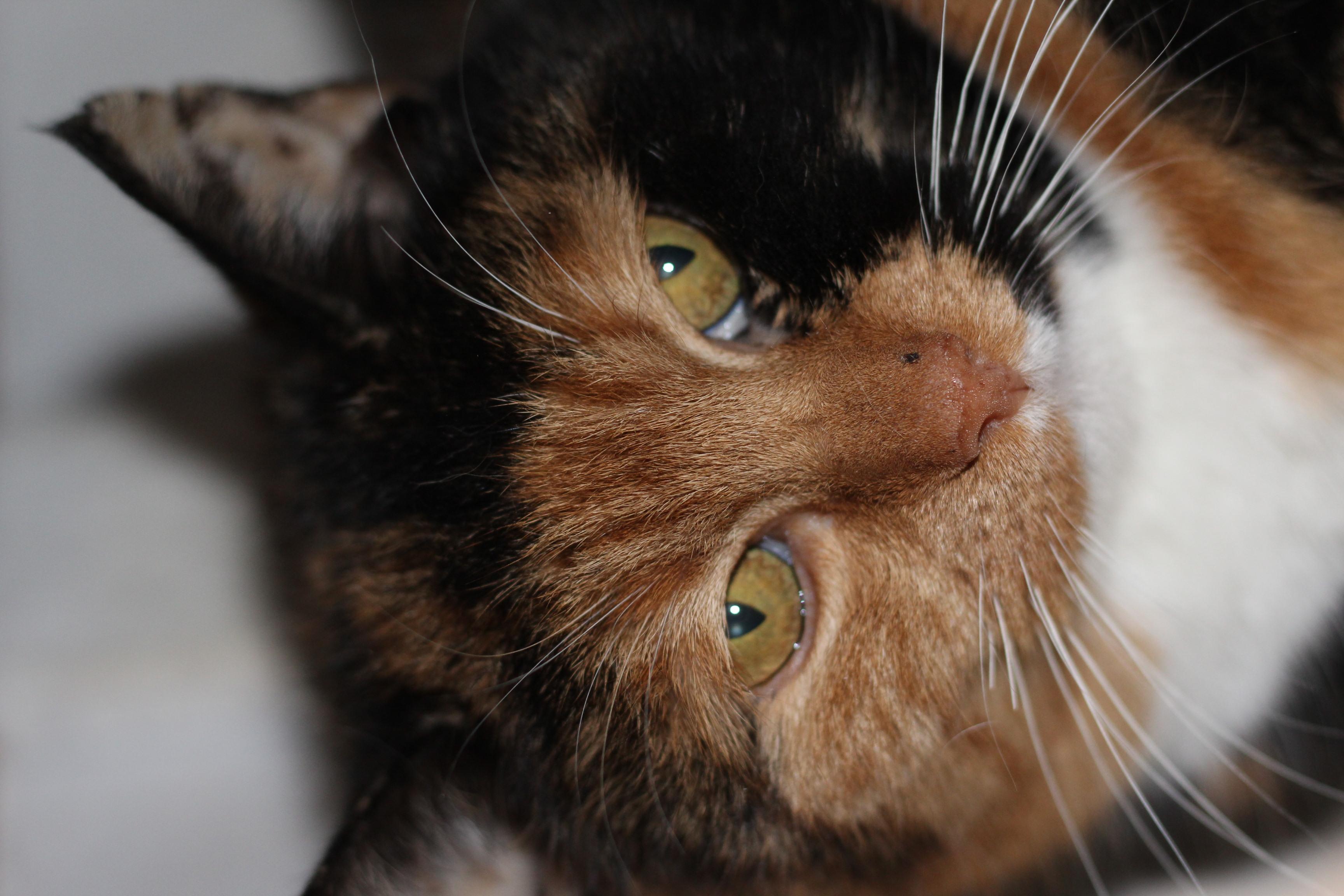 Wilma er en lækker hunkat på 3 år. hun har levet udenfor længe - hun kan derfor være udekat og holde et sted fri for rotter og mus