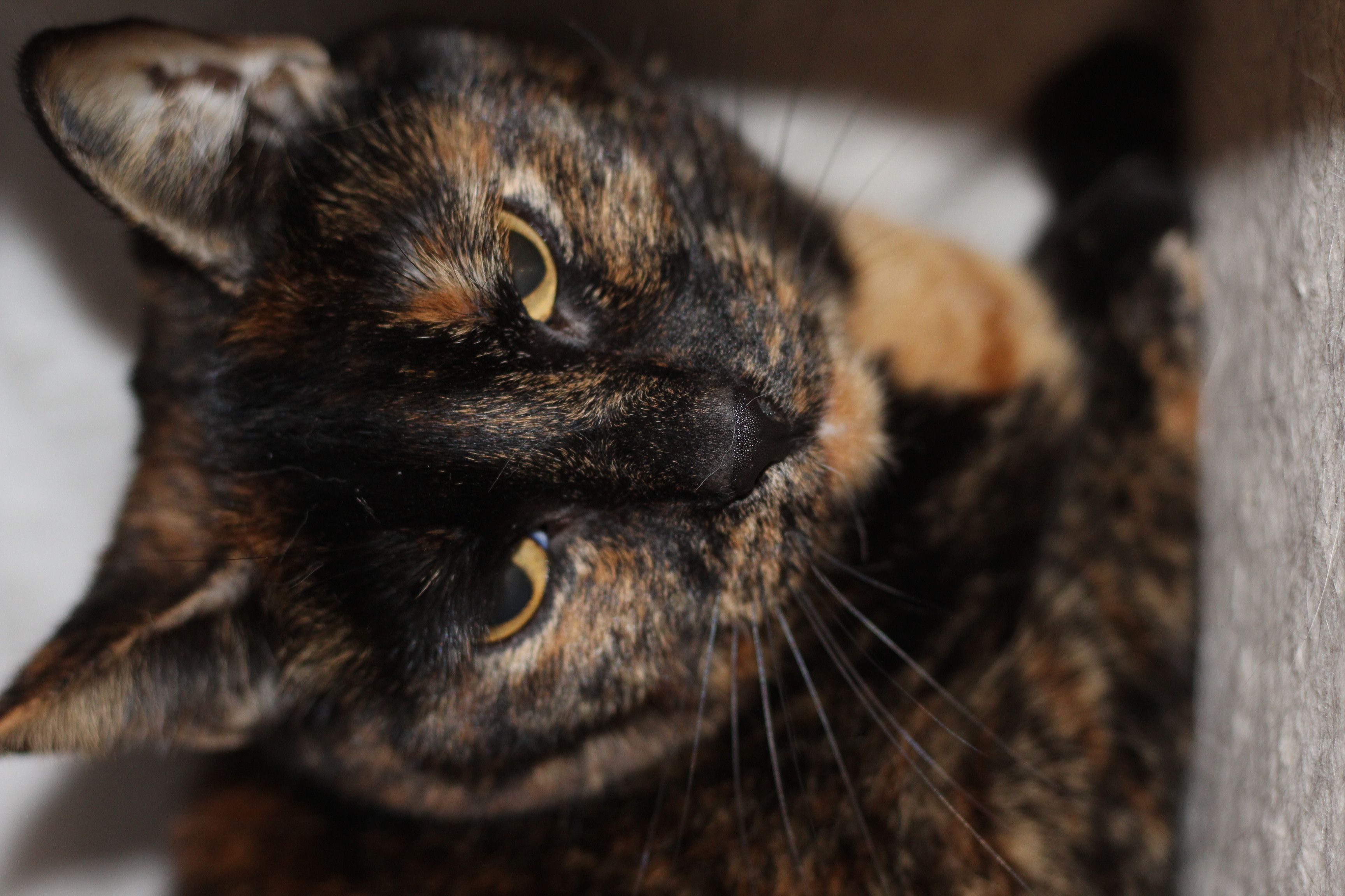 INDEKAT - Kira er en dejlig hunkat på 5 år - hun er forsigtig men virkelig dejlig i det rigtige og rolige hjem