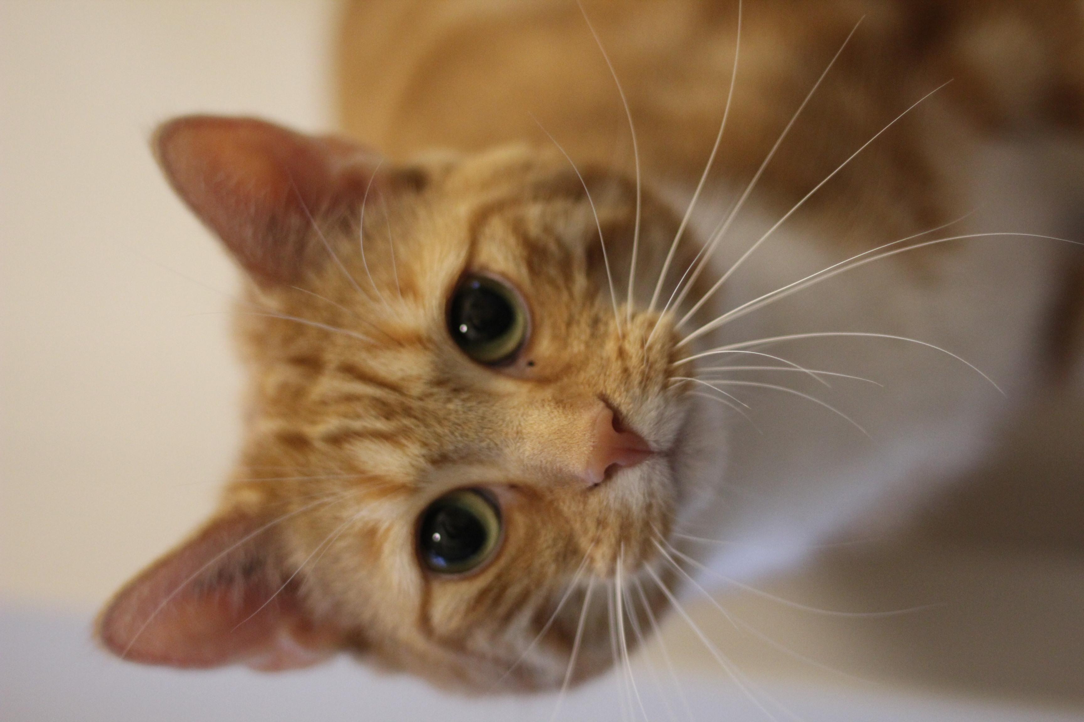Niels er en super dejlig hankat på 3 år. niels har tidligere levet hos en enlig mand som indekat og vi søger det han kender igen - og gerne en som har haft kat før.