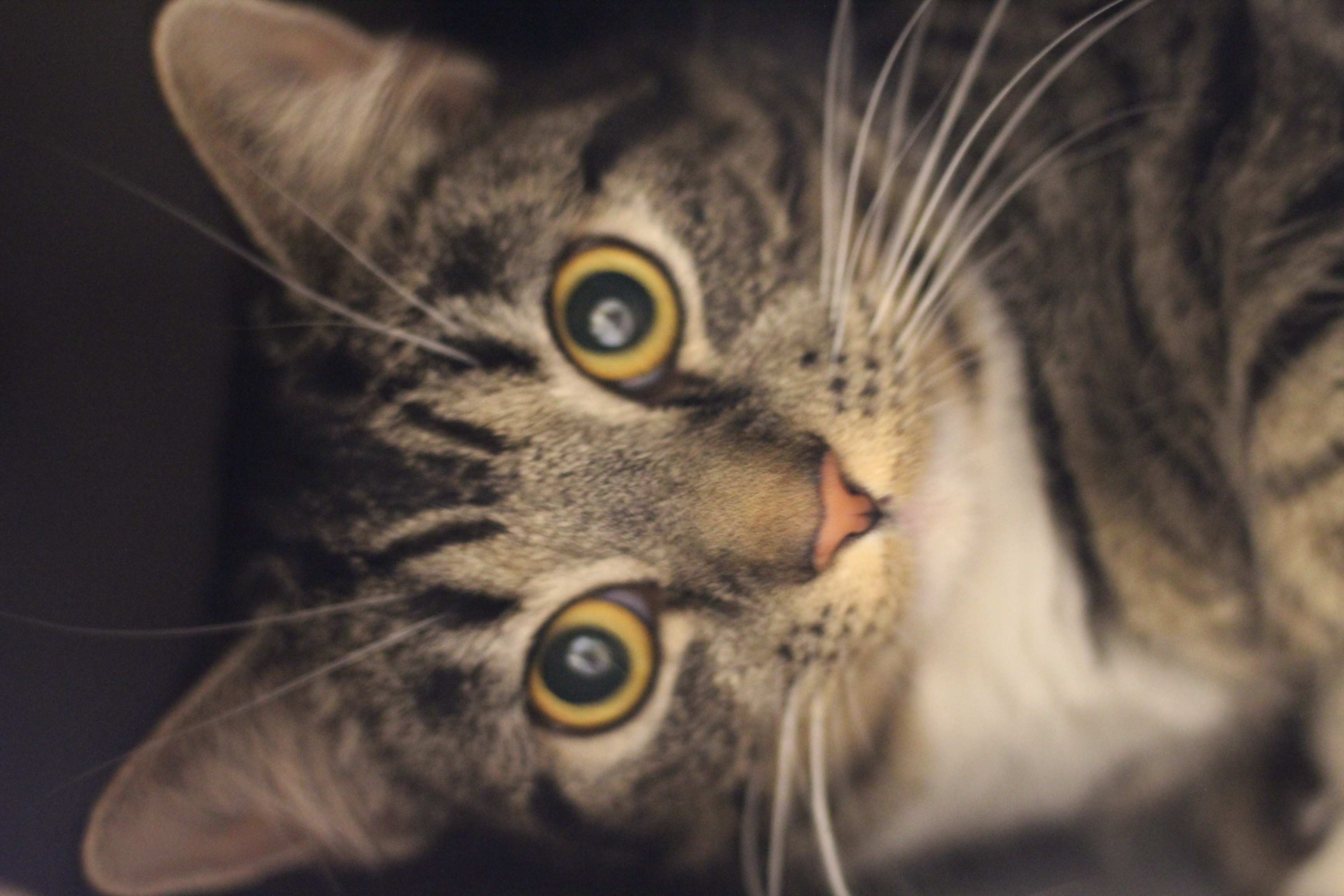 Malou er en super dejlig med noget forsigtig hunkat på 1½ år. hun vil passe godt ind i en lejlighed.