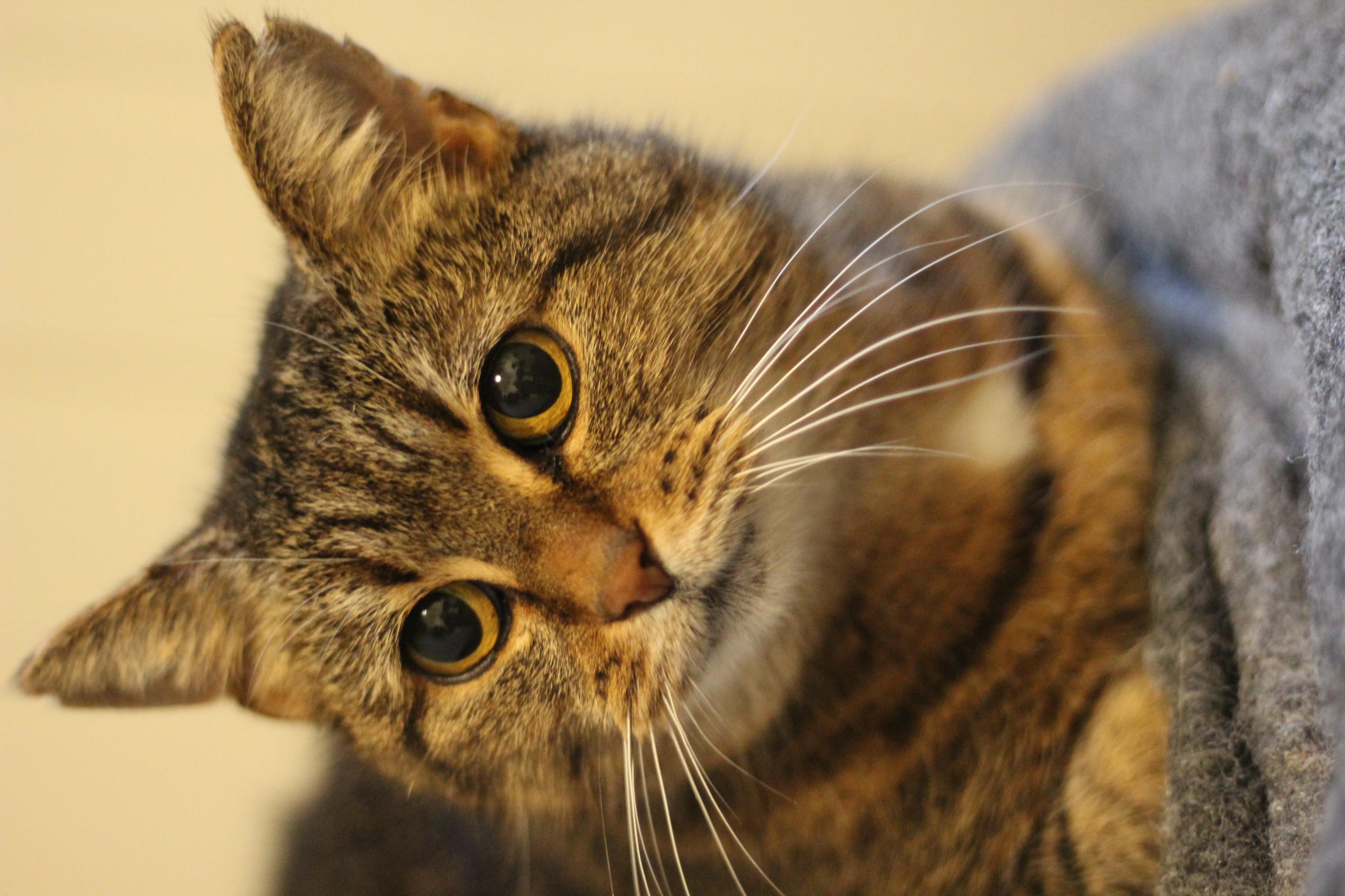 Karla er en super dejlig og meget kælen hunkat der bliver 5 år til 1.5. - hun er den lækreste kat og hun kan med hund.