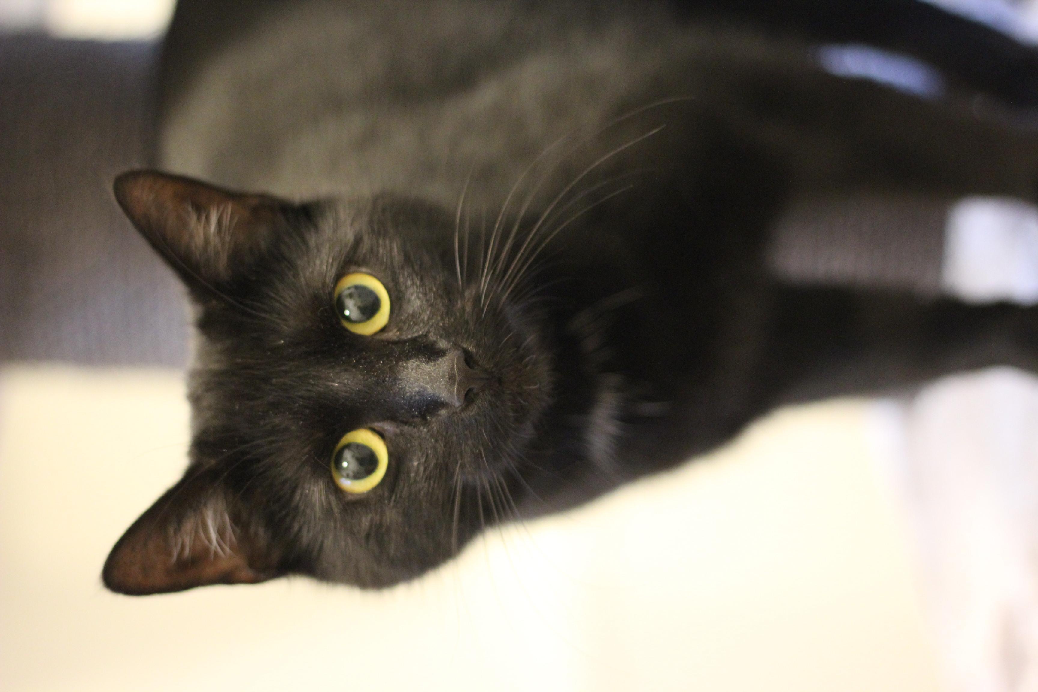 Luna er den sødeste hunkat på 1½ år. Hun er meget kælen og elsker selskab.