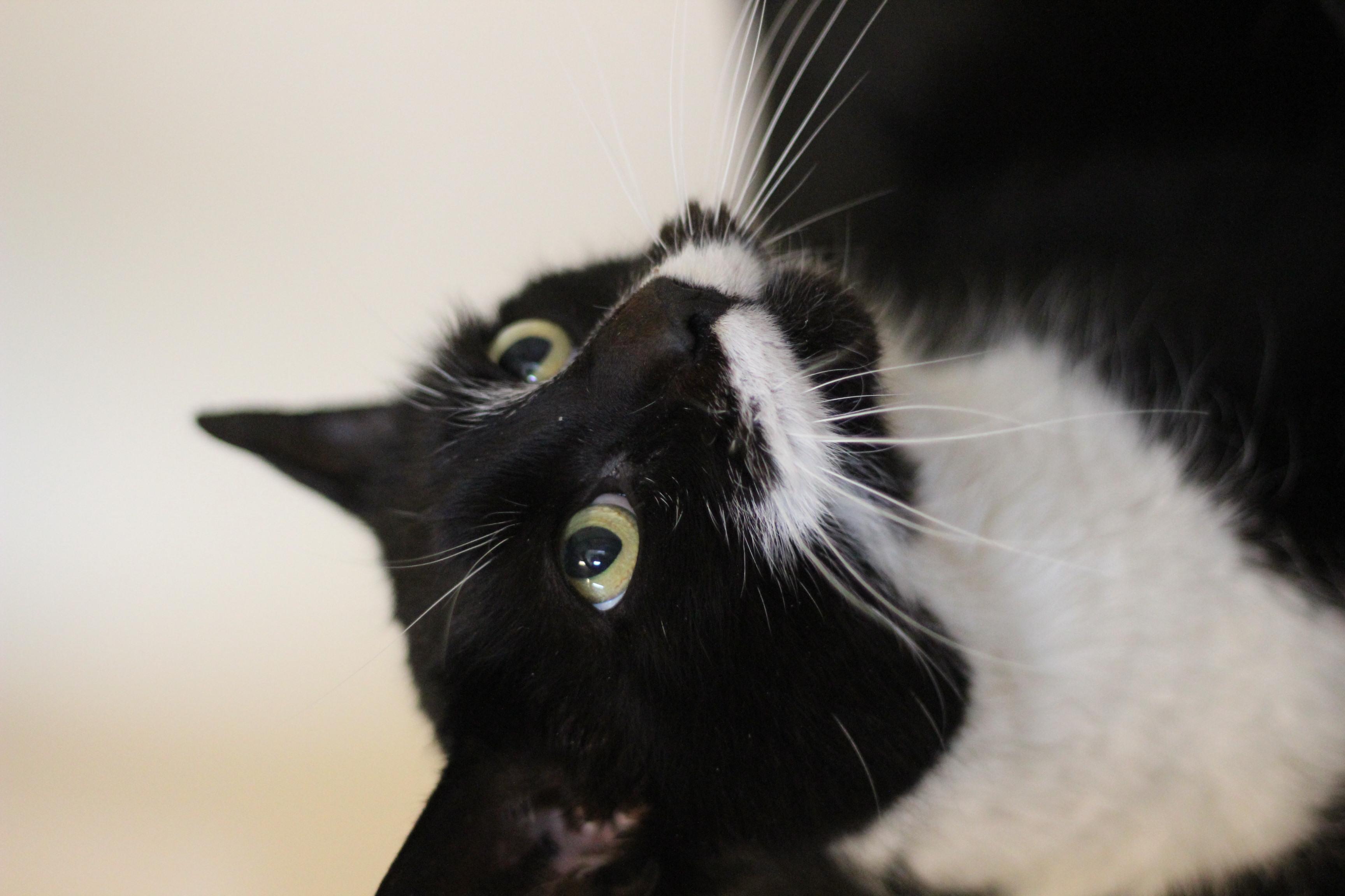 Sylvester er en meget kælen og super sød hankat på 2 år.