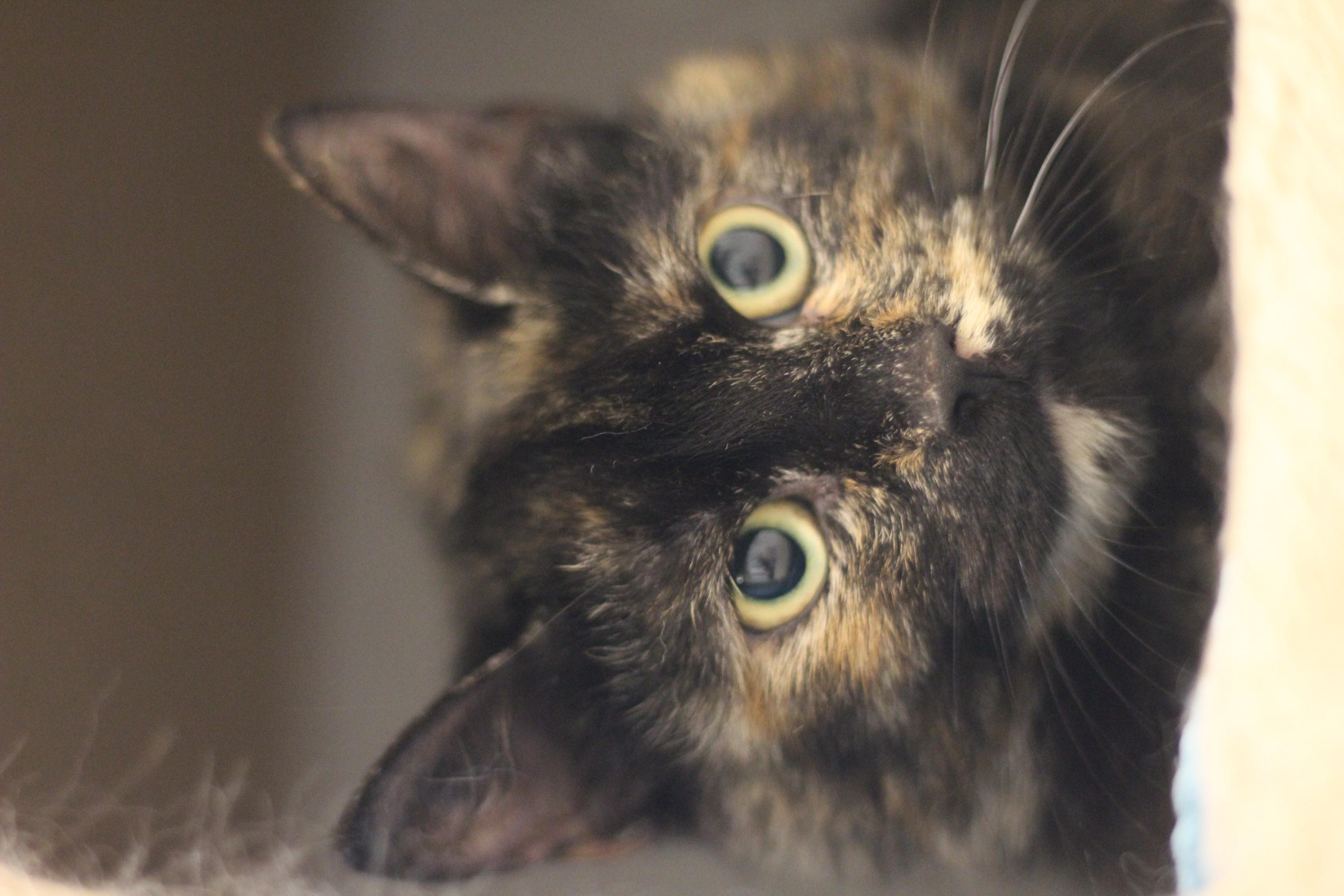 Trunte er en lille forsigtig hunkat fra maj sidste år. Hun er sød - men meget forsigtig. @minvenkattenhobro 25546789 en dyreportal bruger vores billeder til et abonnement på 299 pr. mdr. Vores billeder er GRATIS - håber vi ses