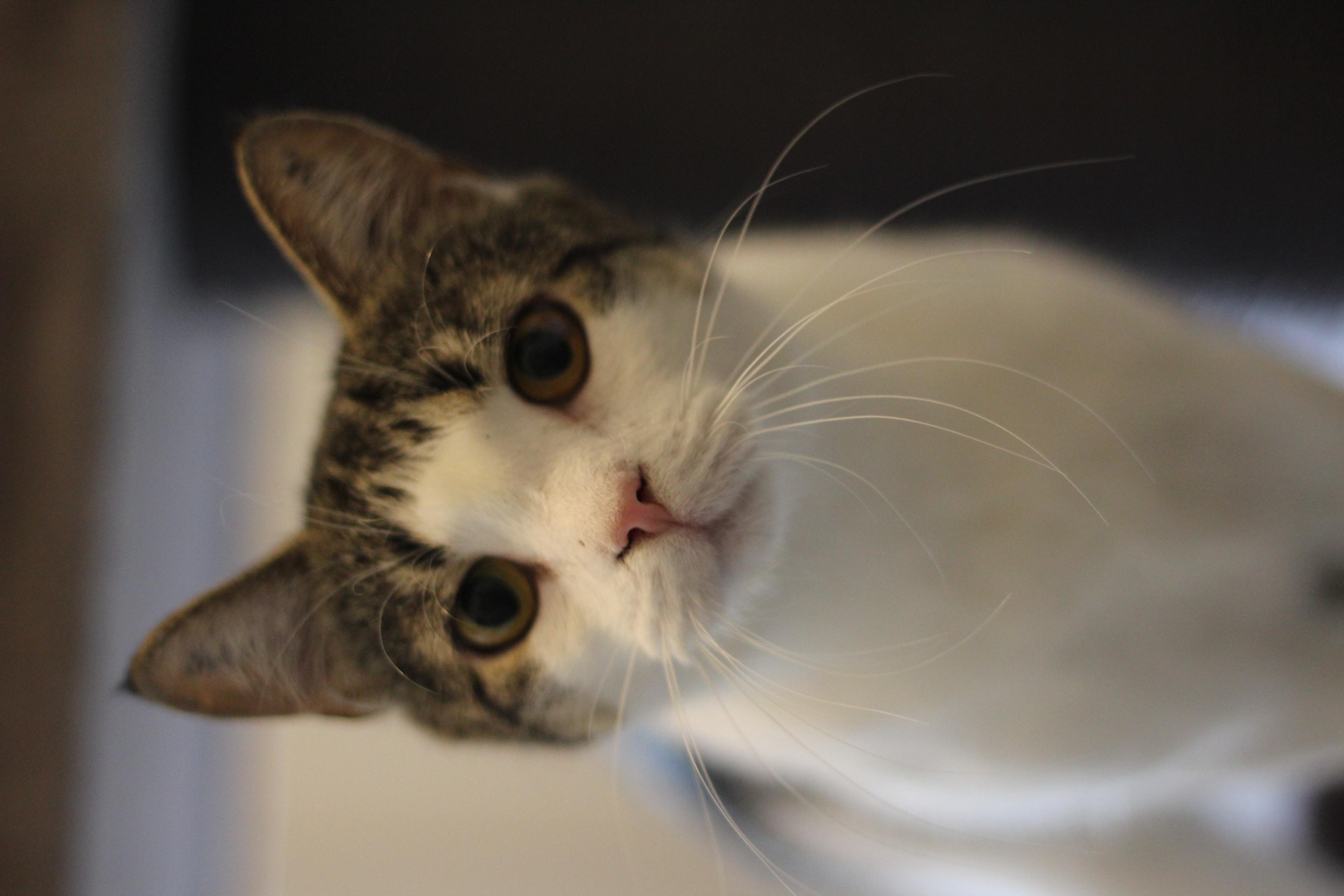 Mille er den dejligste hunkat på 2 år. hun er sød og kælen og vil gerne bo i et hjem som alene kat