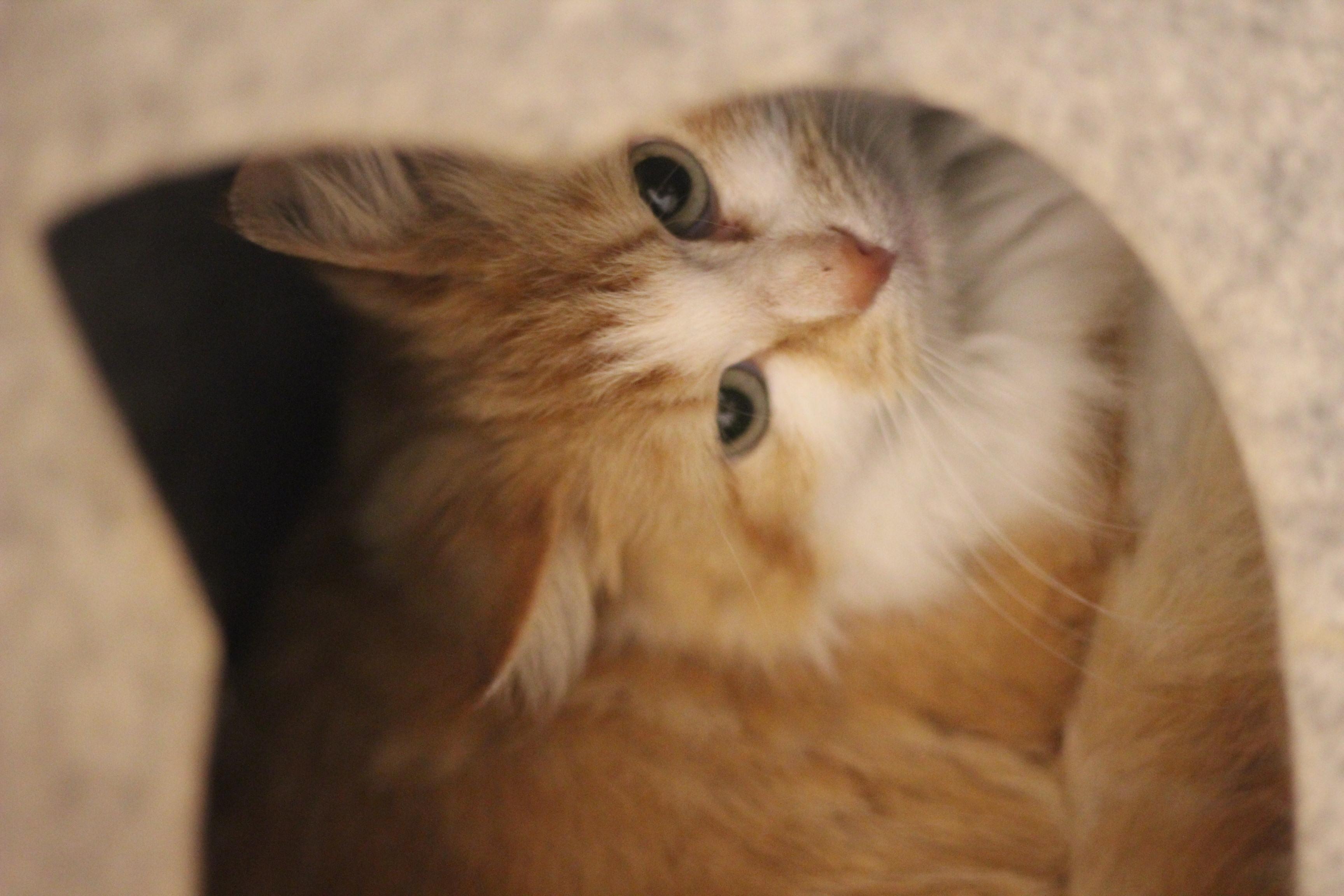 Pjuske er en dejlig men forsigtig hunkat på 2 år, hun har levet udenfor og kan være arbejdskat på en gård trods hendes lange pels.
