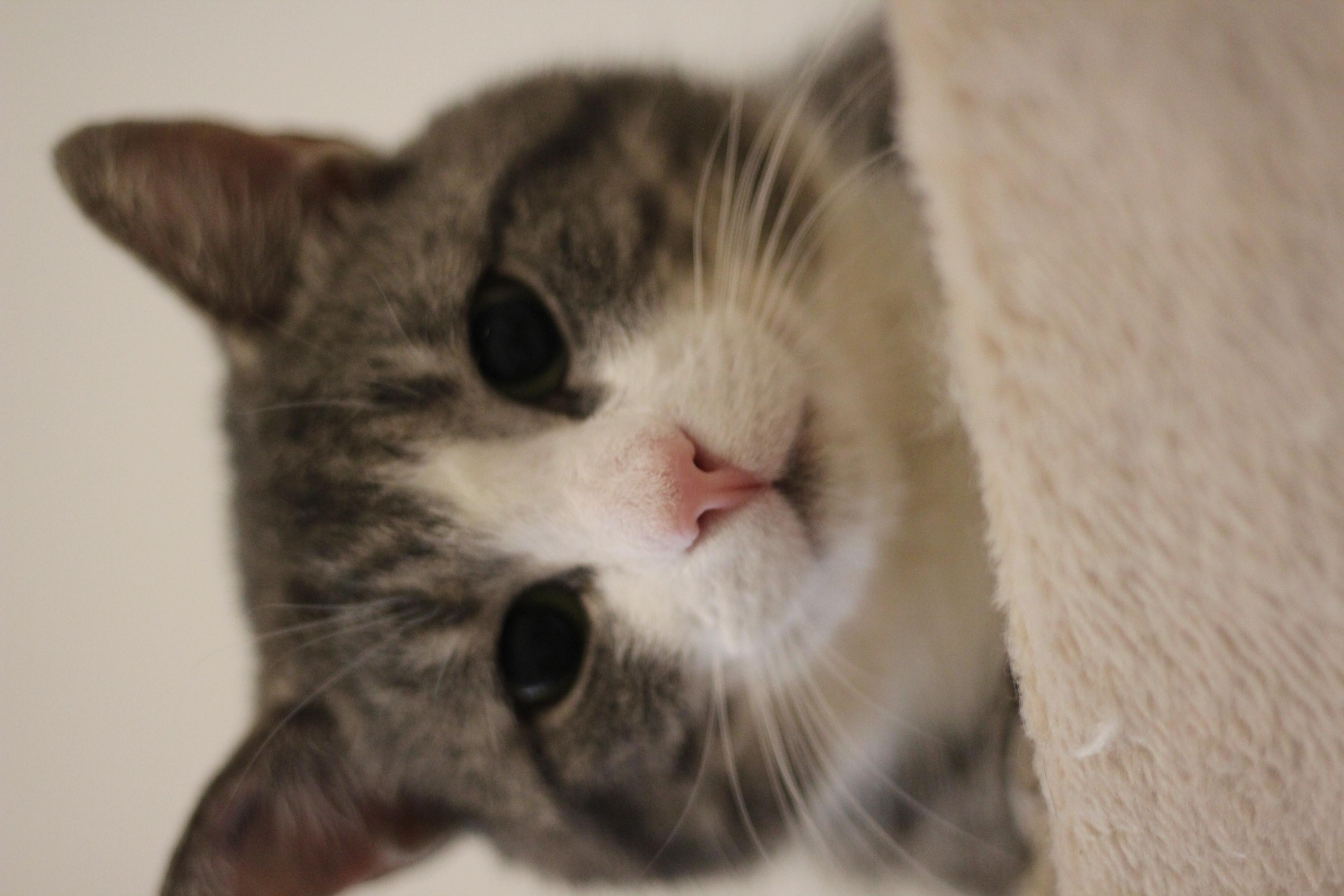 Niko er den dejligste hankat - han er ung og lidt fræk - han er nykastreret og skal helst bo som alene kat og man skal vide at han kan nappe.