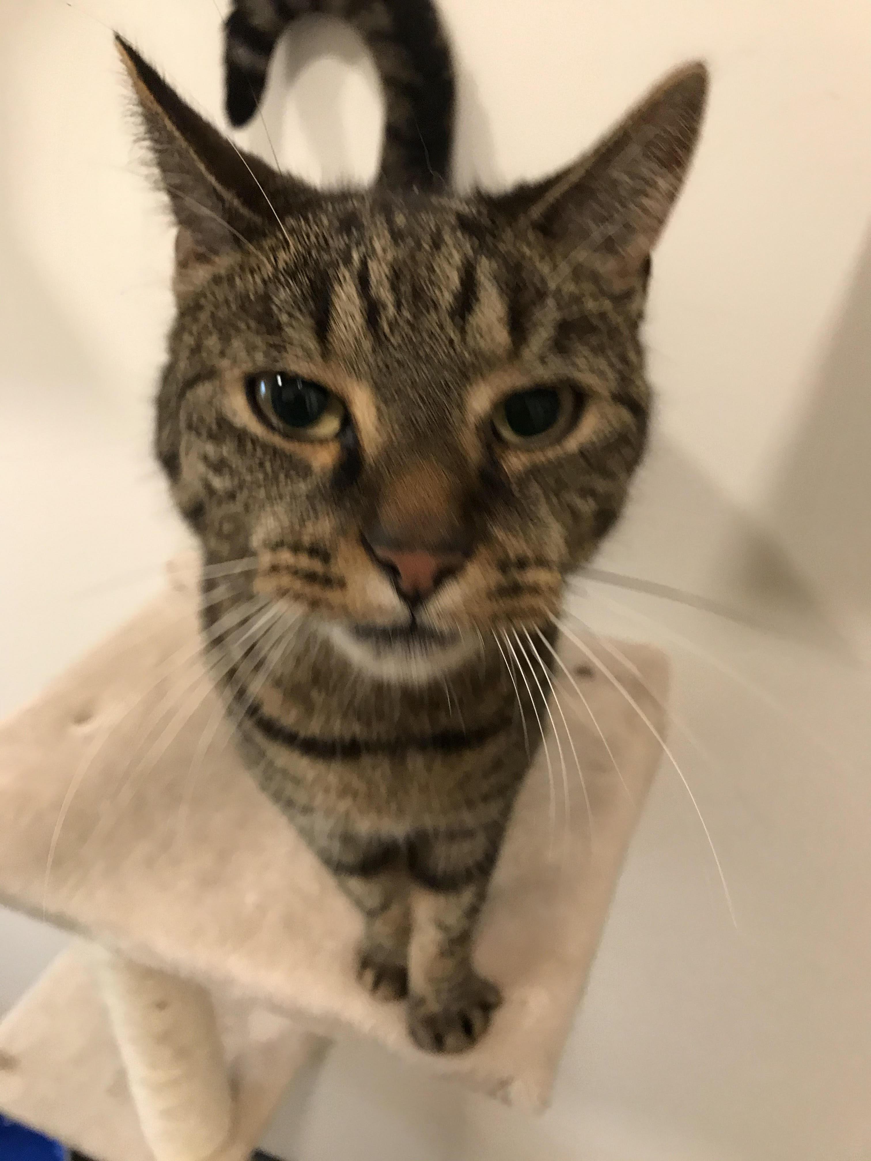 Hugo er den sødeste kat på 5 år. han er sød og super kælen - vil gerne bo i et hjem som eneste kat.
