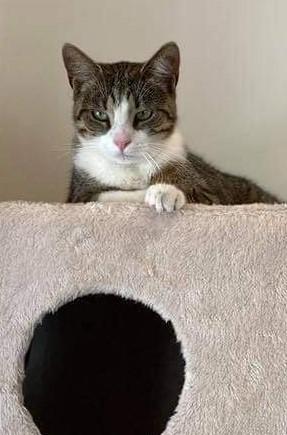 Maggi er en dejlig hunkat fra maj 2020 - hun er sød og meget kælen og kan med andre katte - HUn er til hus og have