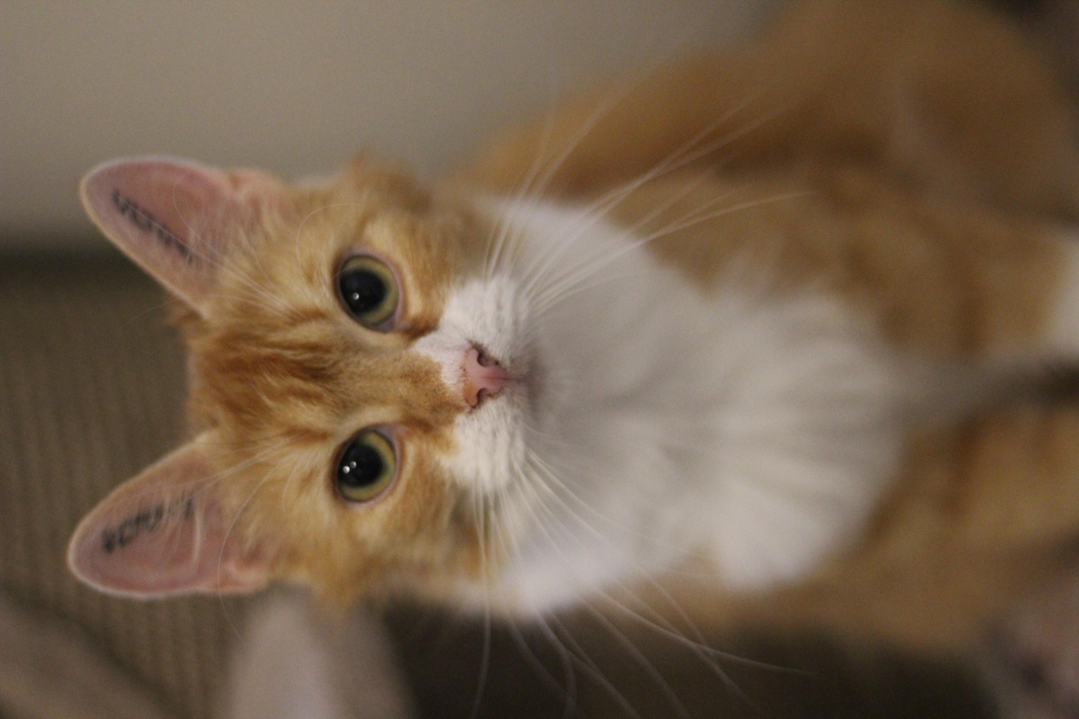 Mama Mia er en sød og dejlig hunkat på 2 år. hun er selvstændig og kan med andre katte og hund .
