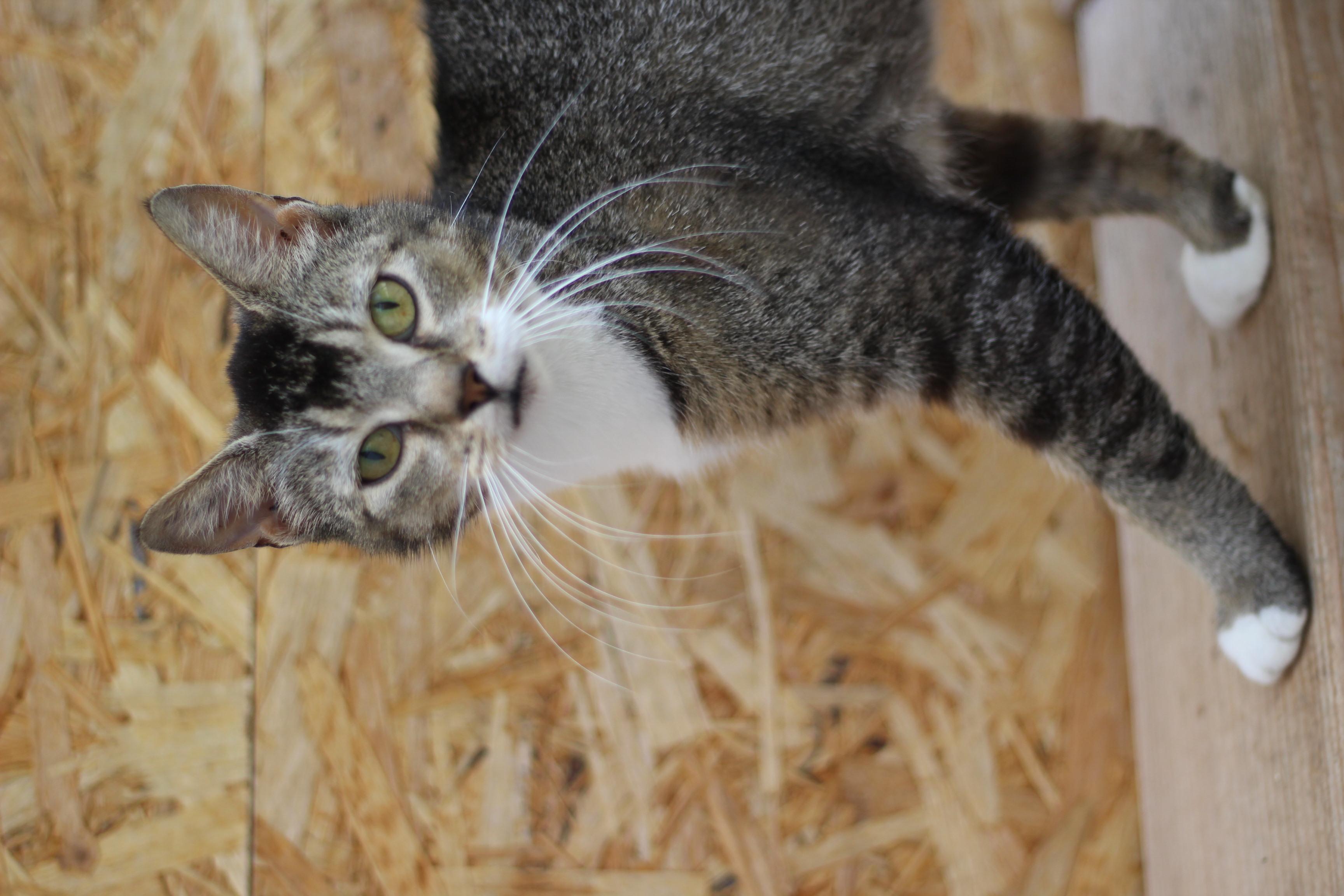 NEDSAT PRIS 600 KR - Amina er den smukkeste kat. hun er vildtfarvet næsten som en hare. hun r sød og kælen og kan med hund og børn og andre katte