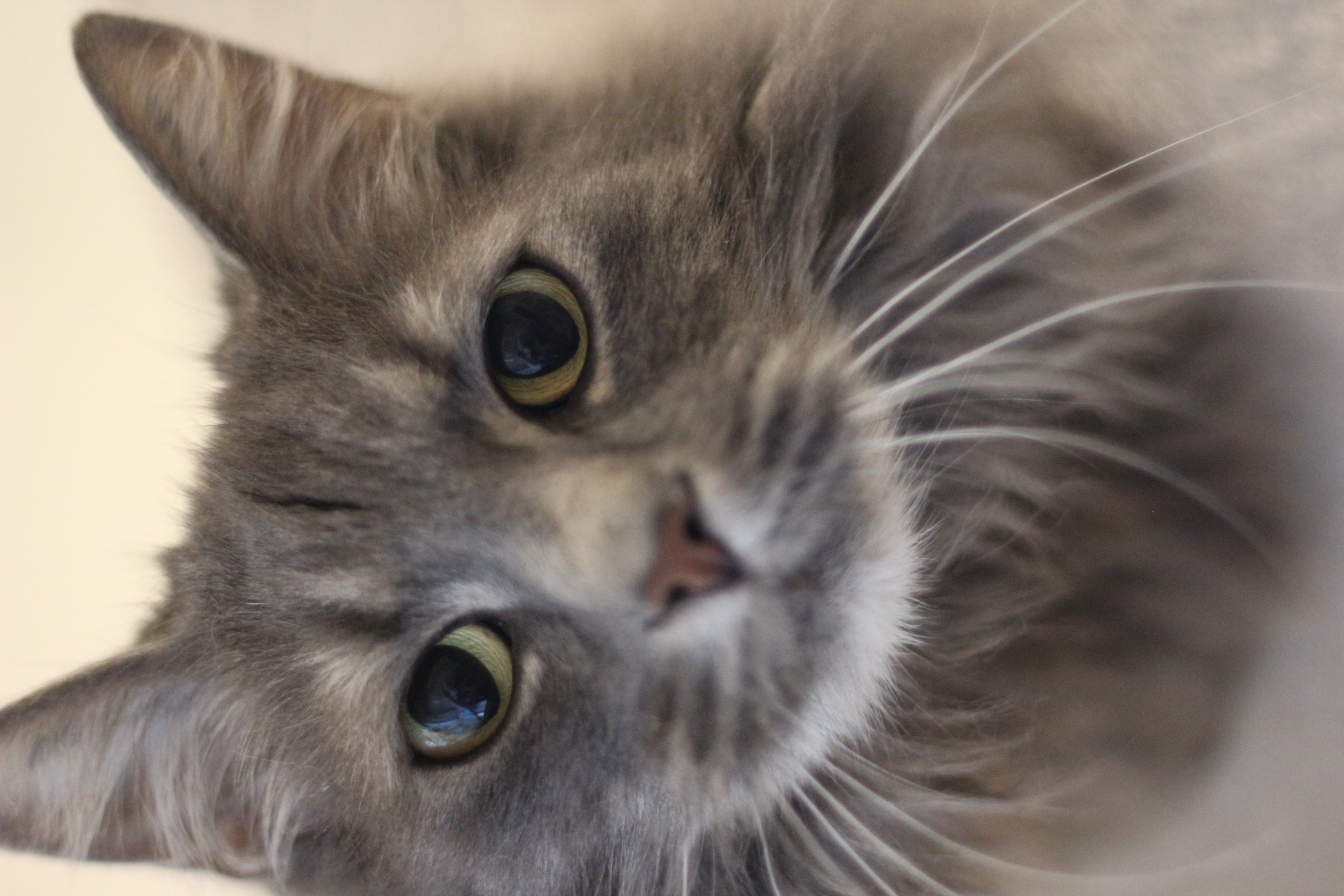 Smilla er en dejlig hunkat på 5 år. Hun er super dejlig og meget kælen og hun vil gerne bo som alene kat.