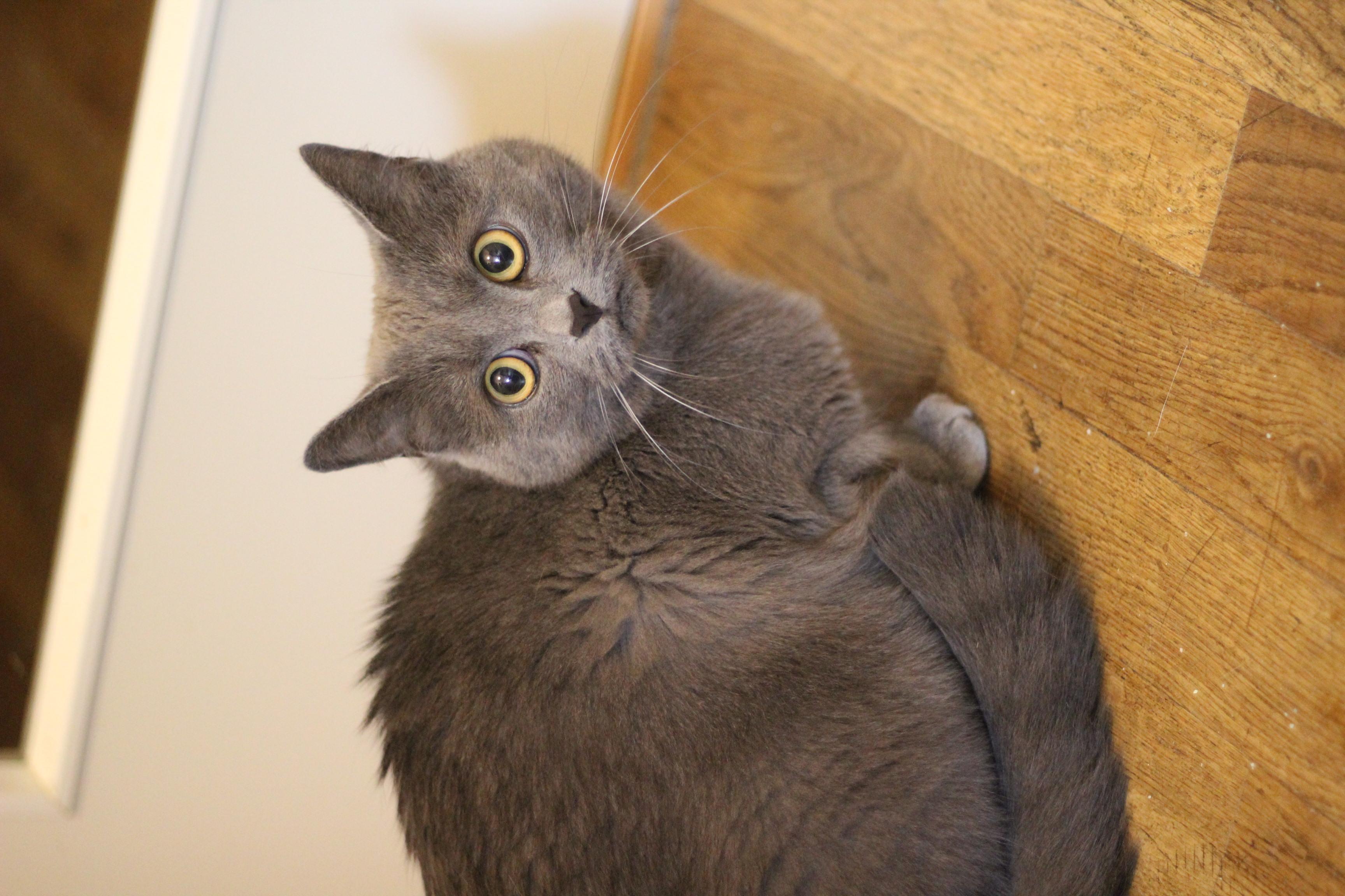 INDEKAT Mizzy er 3 år og indekat - hun er den sødeste kat og er meget nysgerrig og kælen.