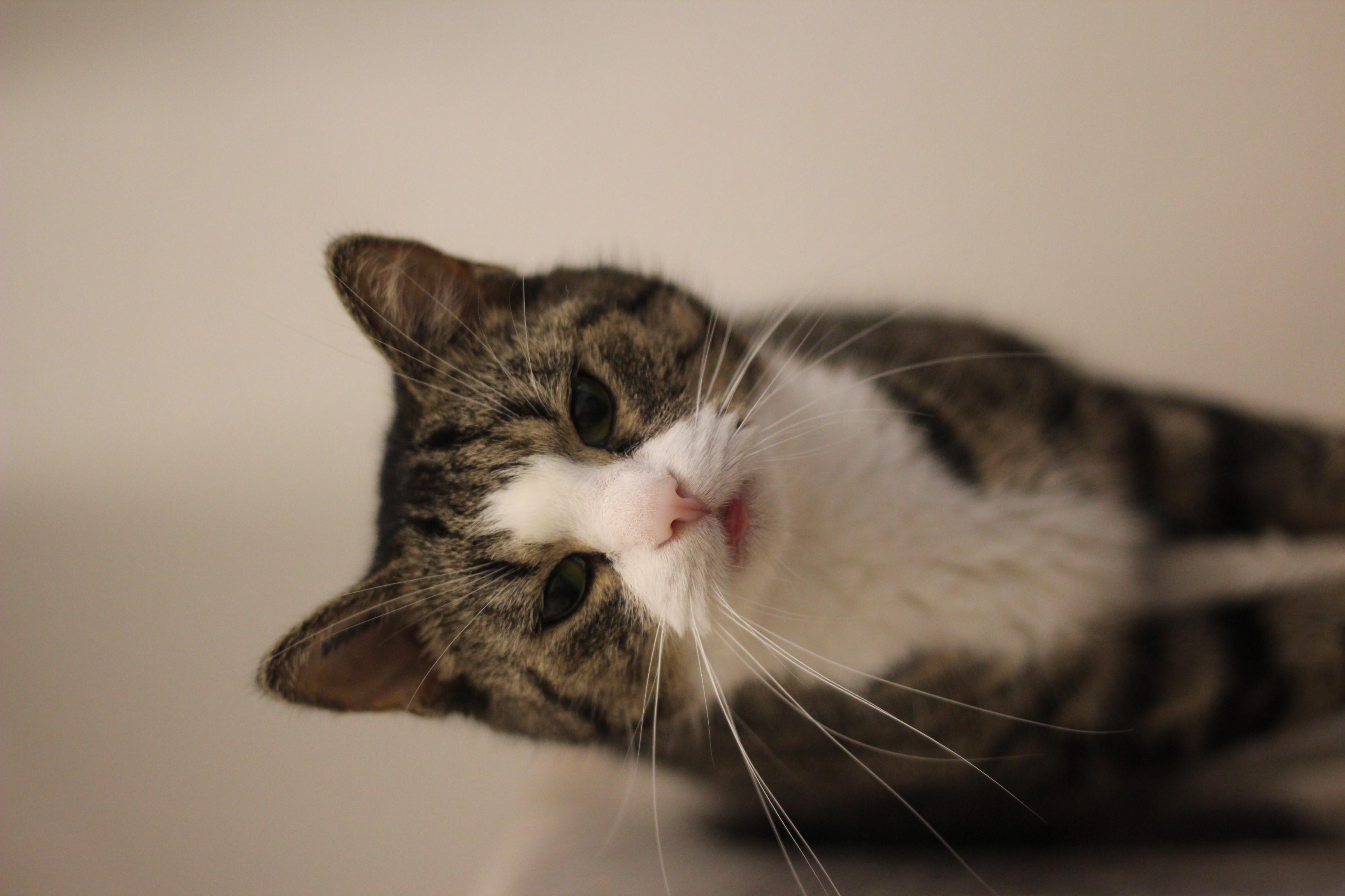 INDEKAT - Mis Mis er en super lækker hunkat på 10 år- hun er så lækker og dejlig en kat og mangler et hjem hvor hun kan være indekat og man kan tage vare på hende.