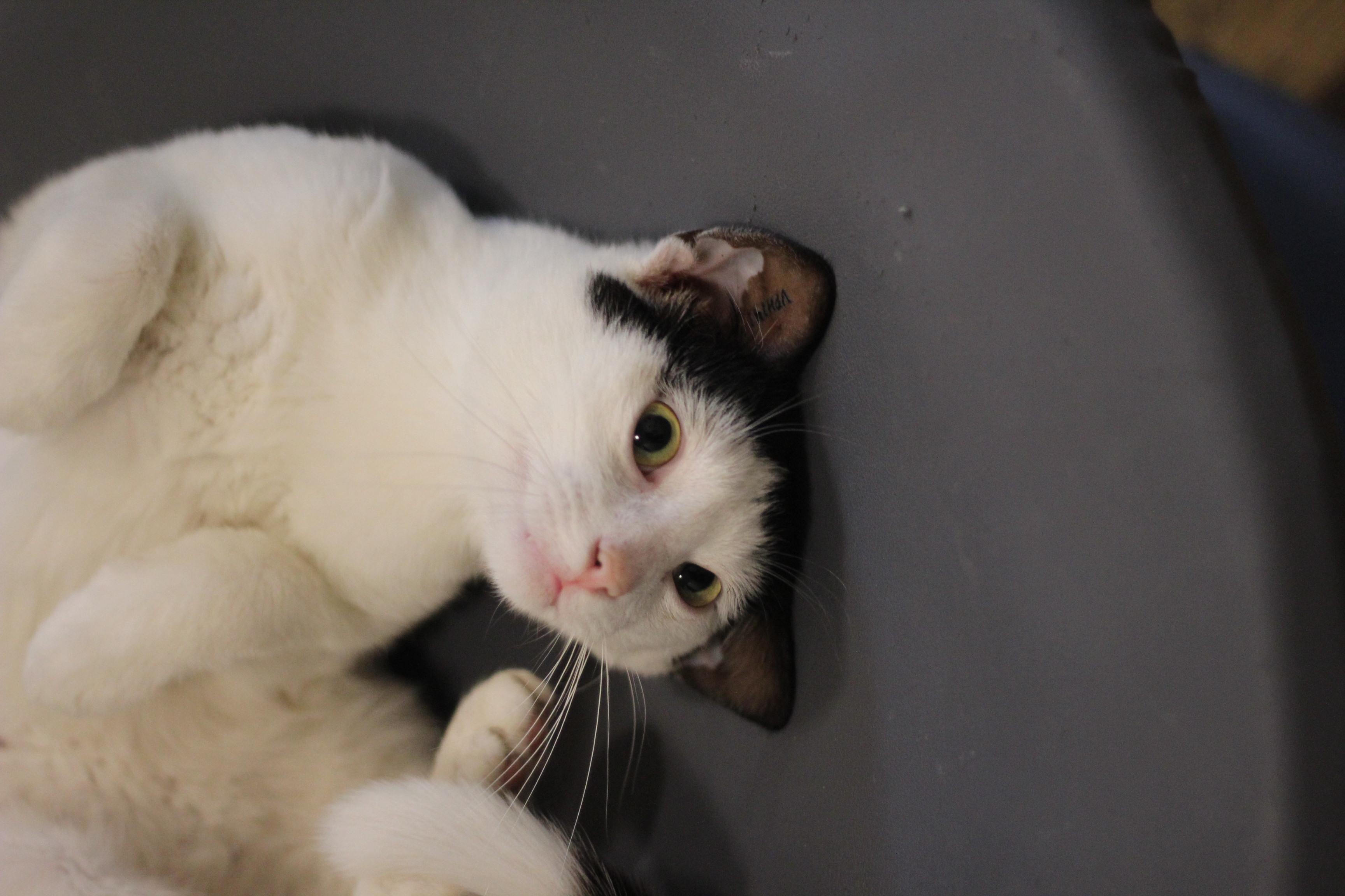 Milo er verdens mest kælne kat - sagde pigerne ved dyrlægerne da vi hentede ham efter kastration. han er bare den bedste - han kan lide andre katte og elsker selskab. ca 1 år.