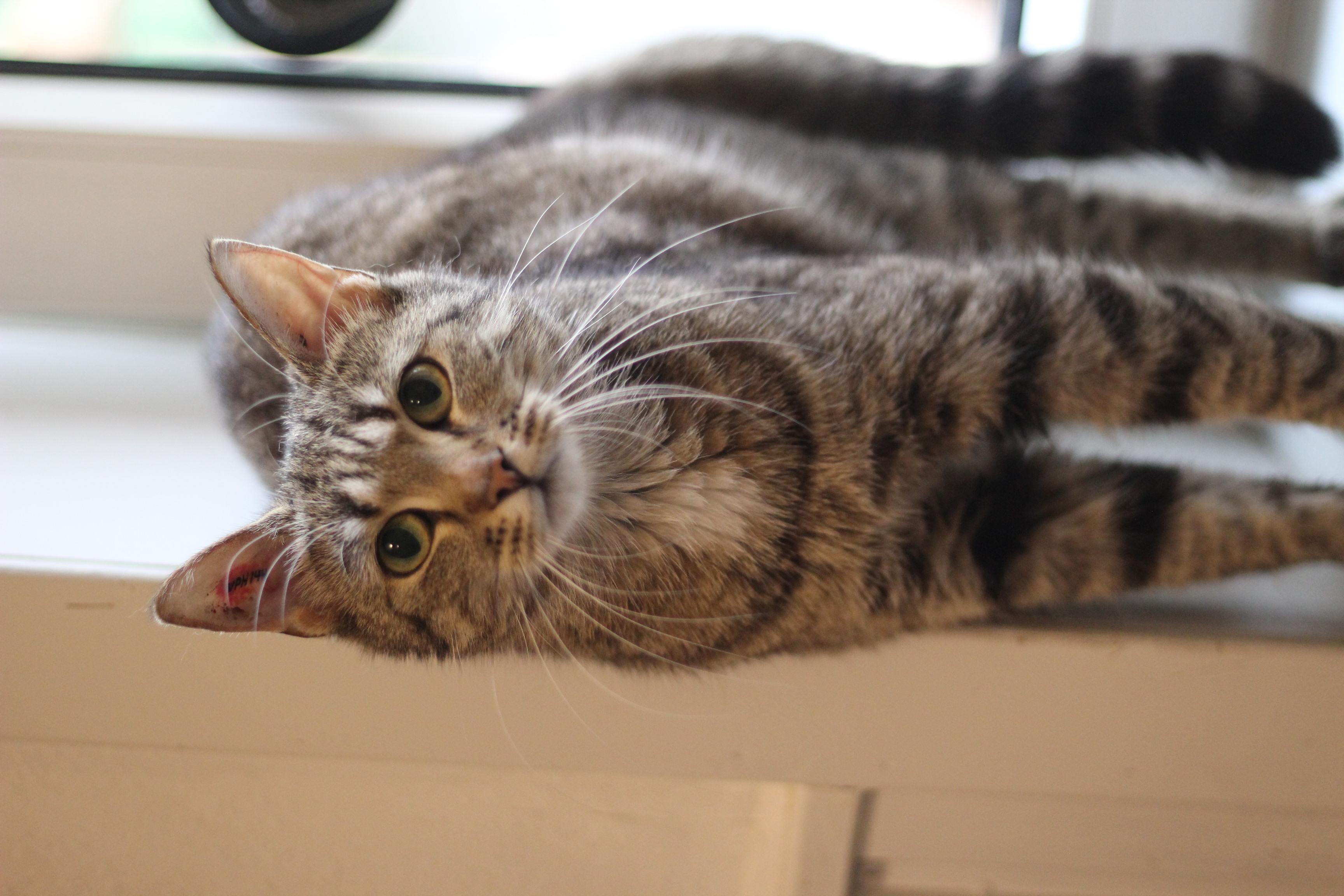 Tulle er en lækker hunkat på 1 år. hun elsker selskab og kan med andre katte