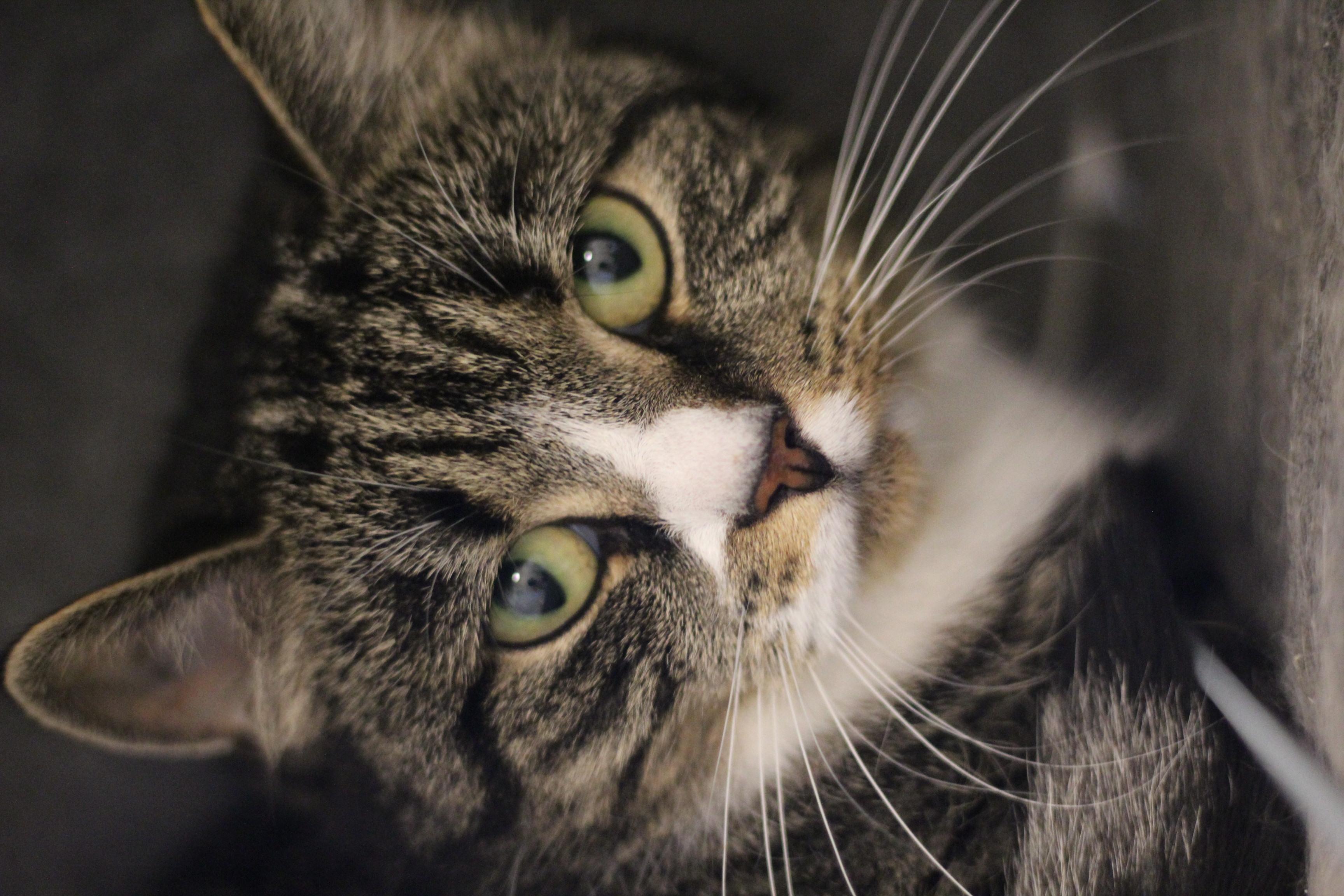 NEDSAT PRIS 600 kr. INDEKAT Molly er en lidt forsigtig hunkat på 1 år.hun er sød og kælen men skal i et roligt hjem.