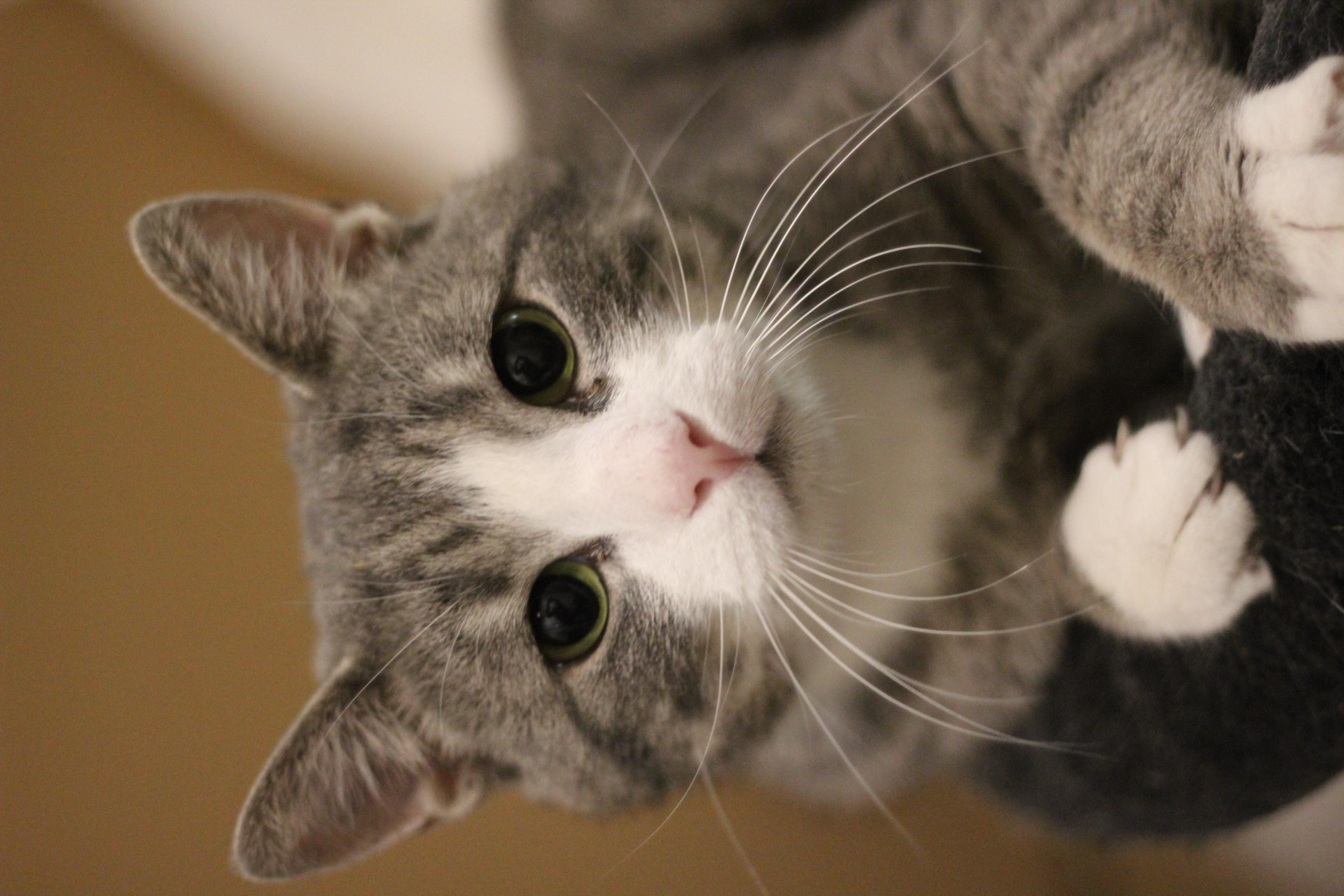 NEDSAT PRIS 600 kr. Niko er den dejligste hankat - han er ung og lidt fræk - han er nykastreret og skal helst bo som alene kat og man skal vide at han kan nappe.