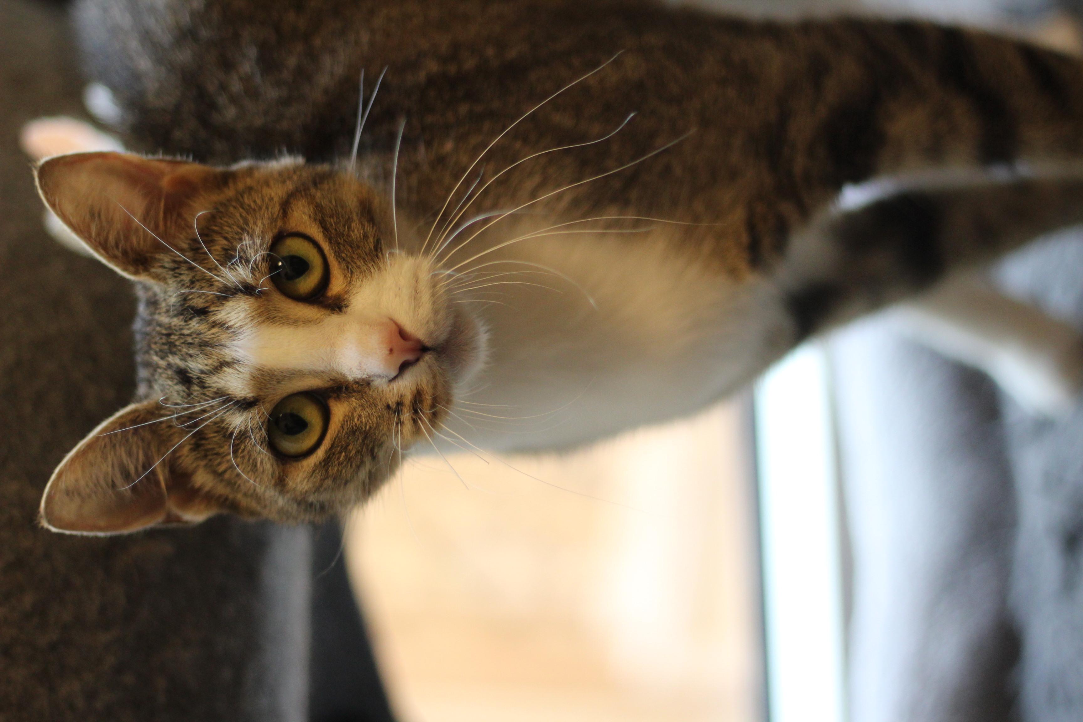 Verdens sødeste hunkat søger hjem. hun er 2 år og den bedste, mest kælne kat man kan tænke sig. Hun er max kælen og elsker selskab.