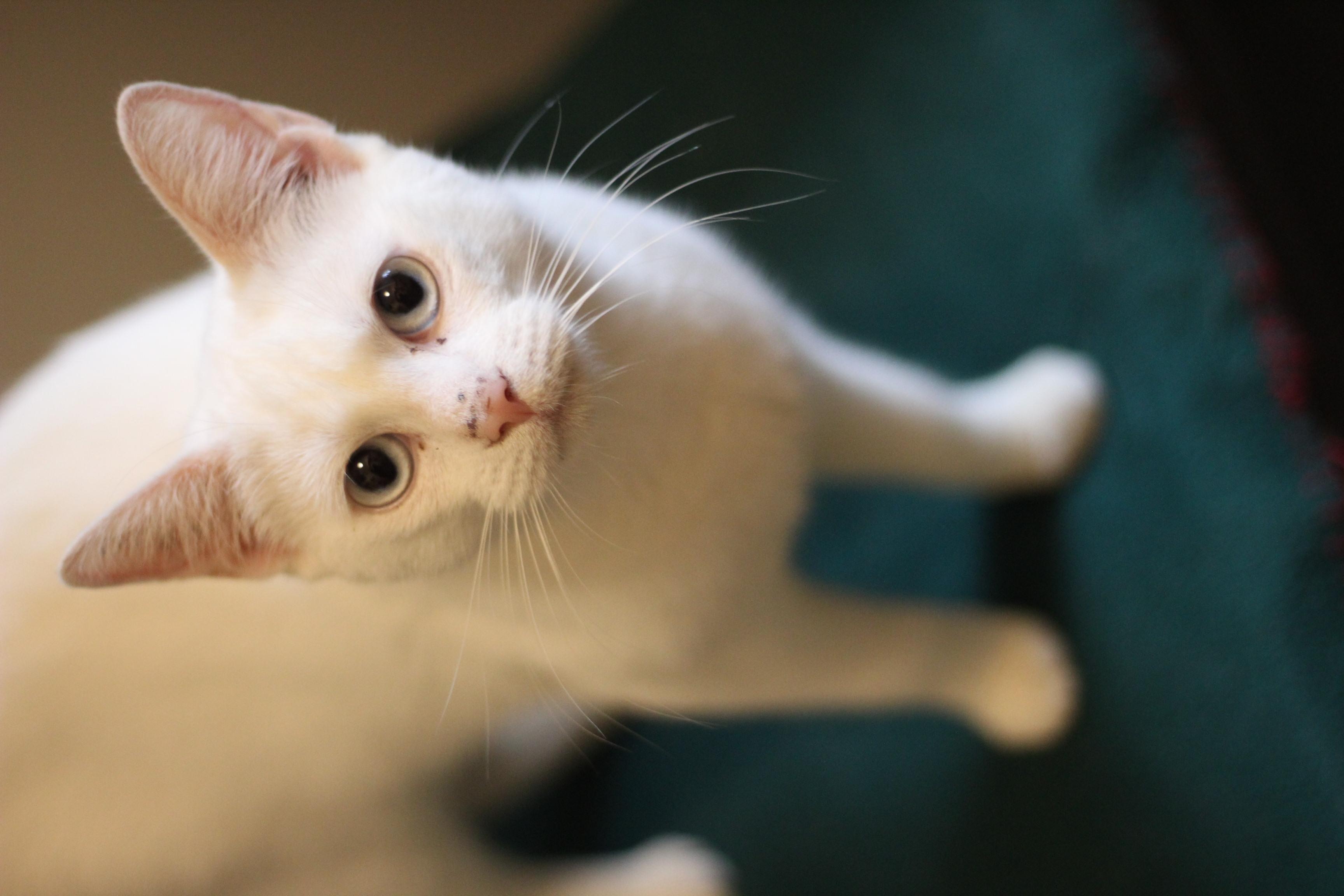 Putte er en sød og kælen hunkat på 1 år. hun er sød og kælen. er hørende men kan være indekat.