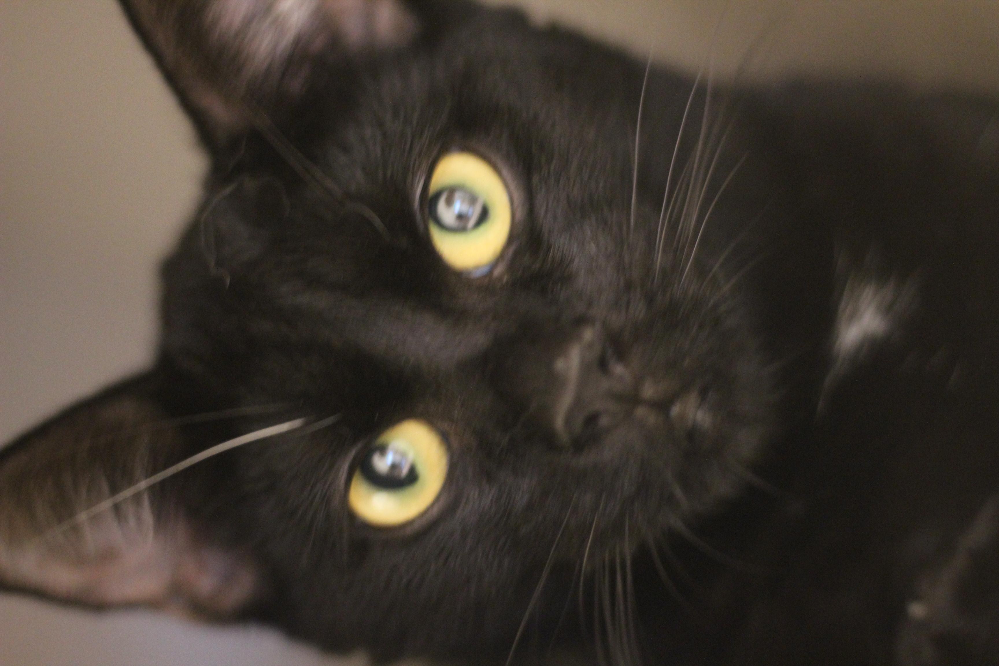Basse er en super lækker sort hankat på 1½ år. han er max kælen og kan med andre katte