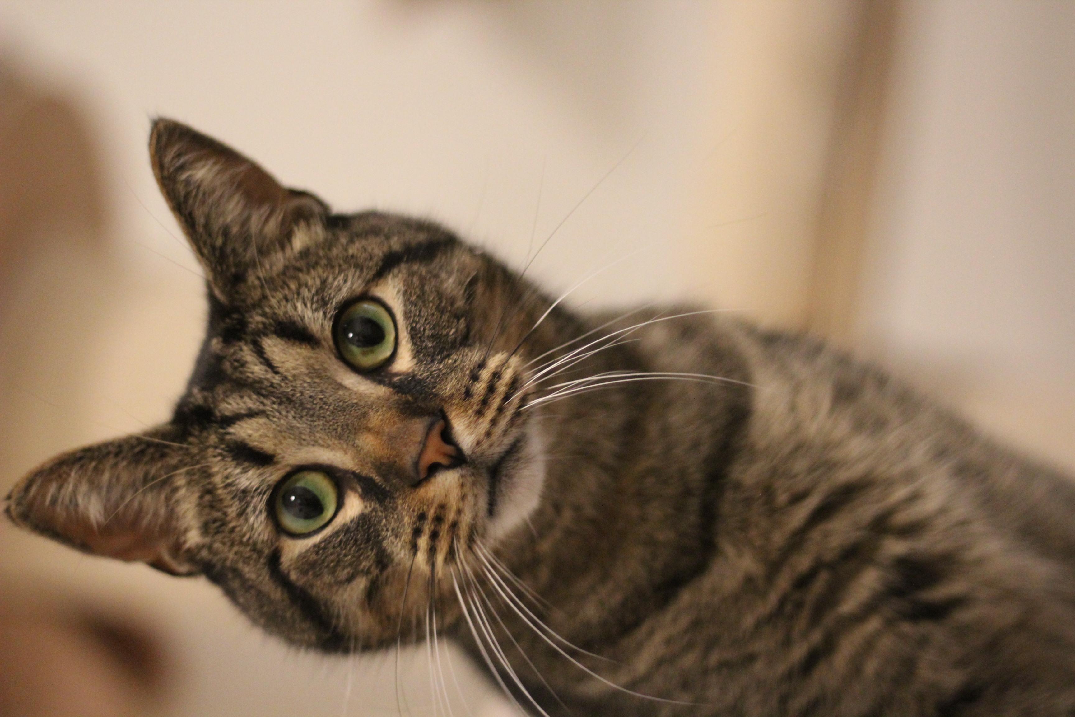 INDEKAT Balou er en lækker hankat på 4 år han er sød og meget kælen