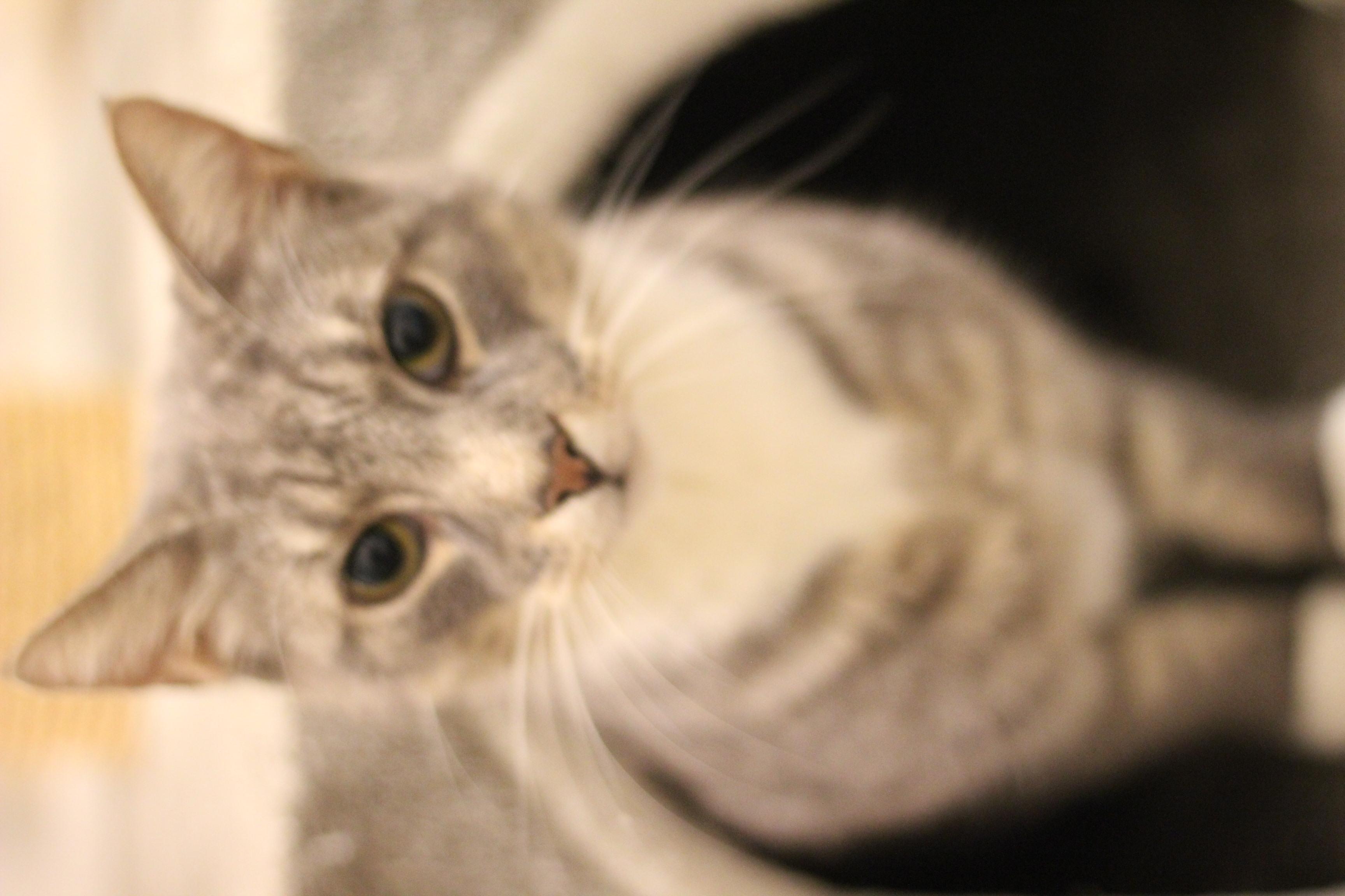 Viggo er den dejligste hankat på 7 år. han er sød og meget kælen. han vil elske at være selskab for dig