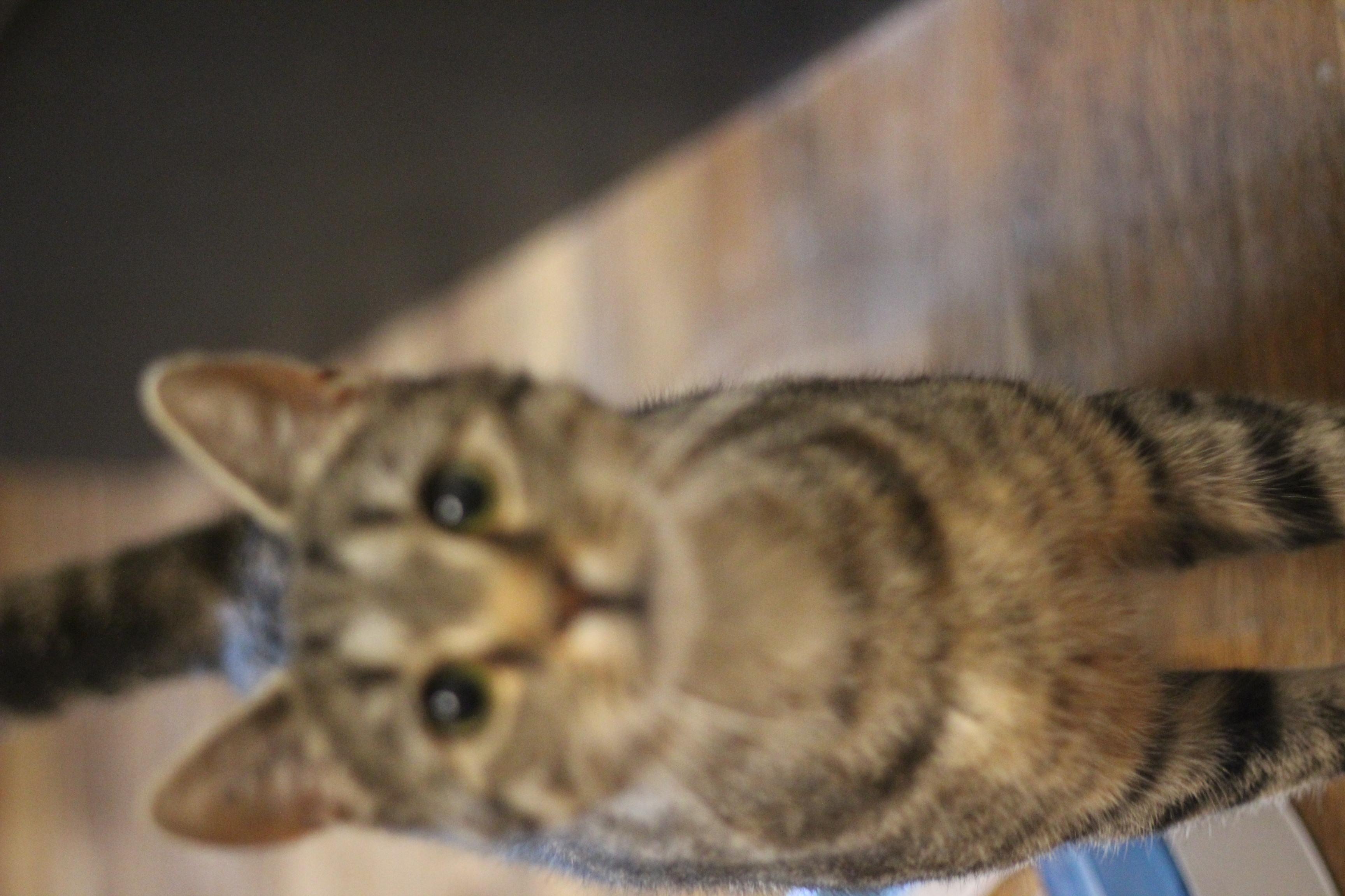 Milo er den sødeste hankat på 1 år. Han kan med andre katte og elsker selskab